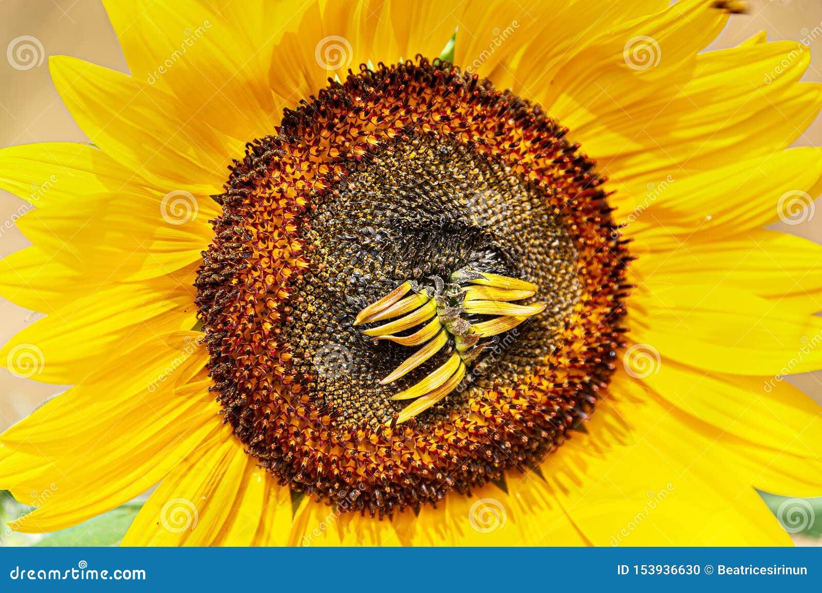 Słonecznik w słońcu z suszy w górę florets