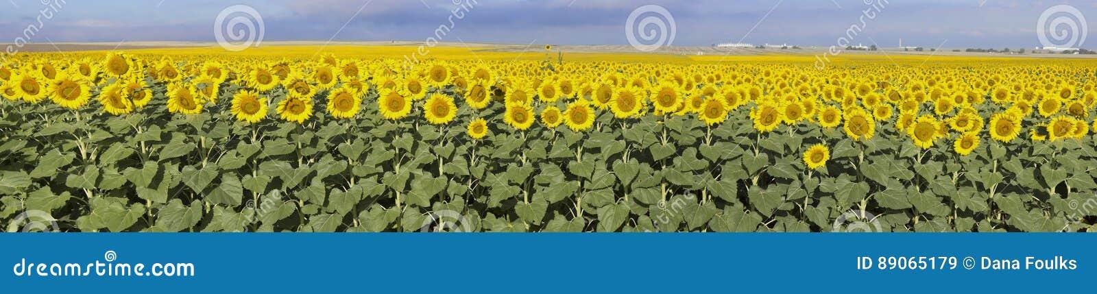 Słonecznika gospodarstwo rolne, Kolorado