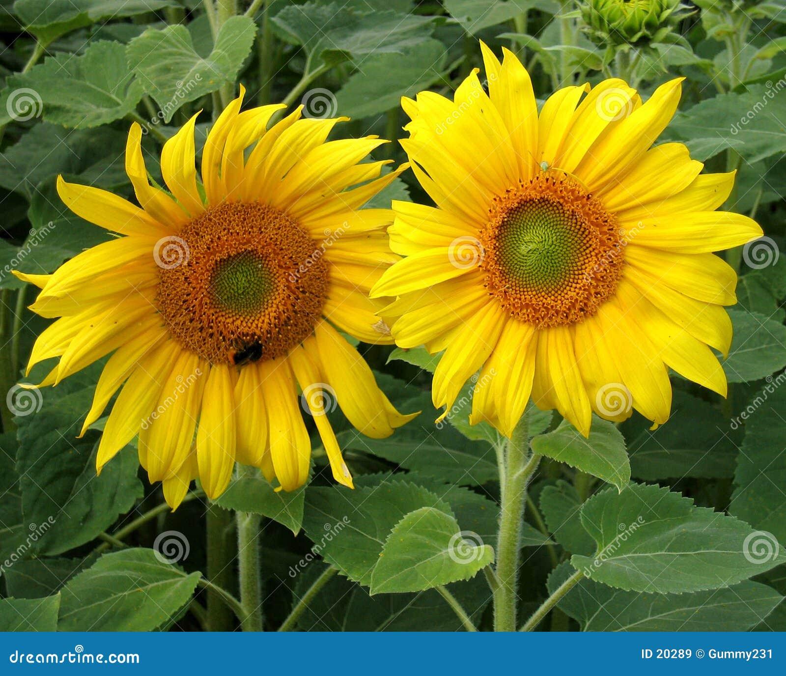 Słoneczniki 2