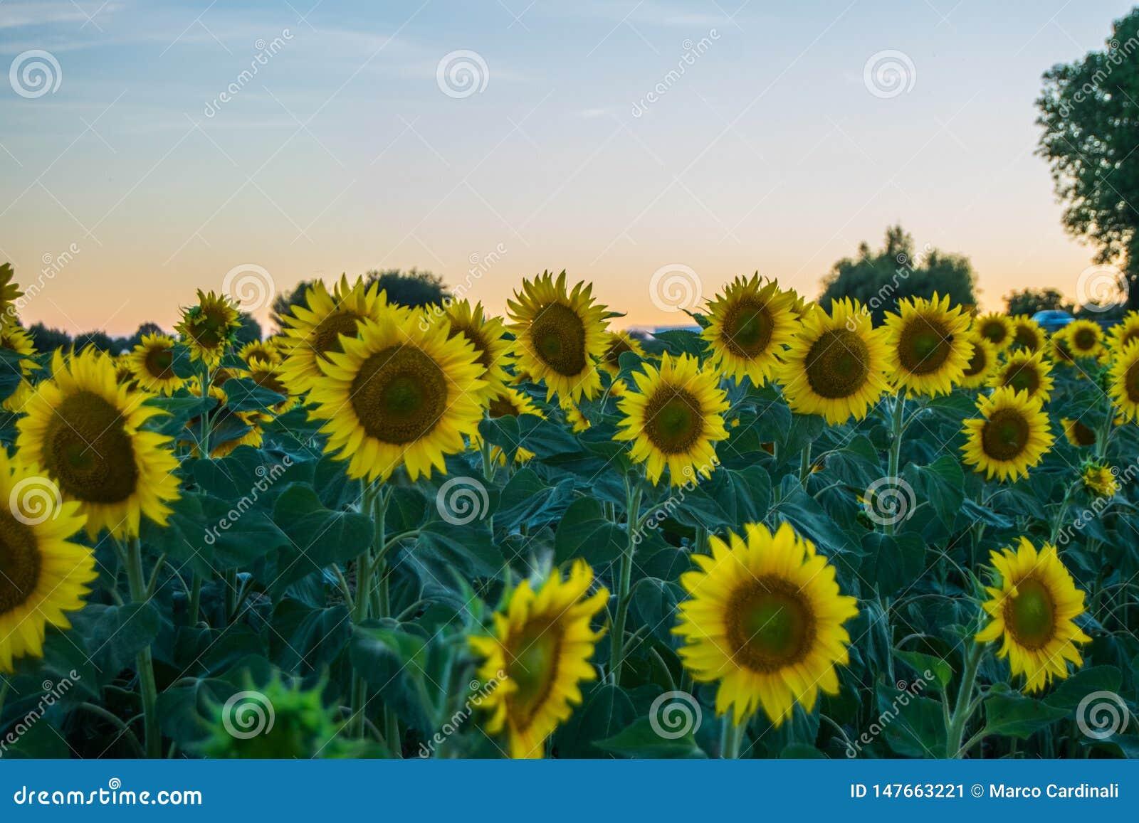 Słoneczniki podczas zmierzchu w Włochy