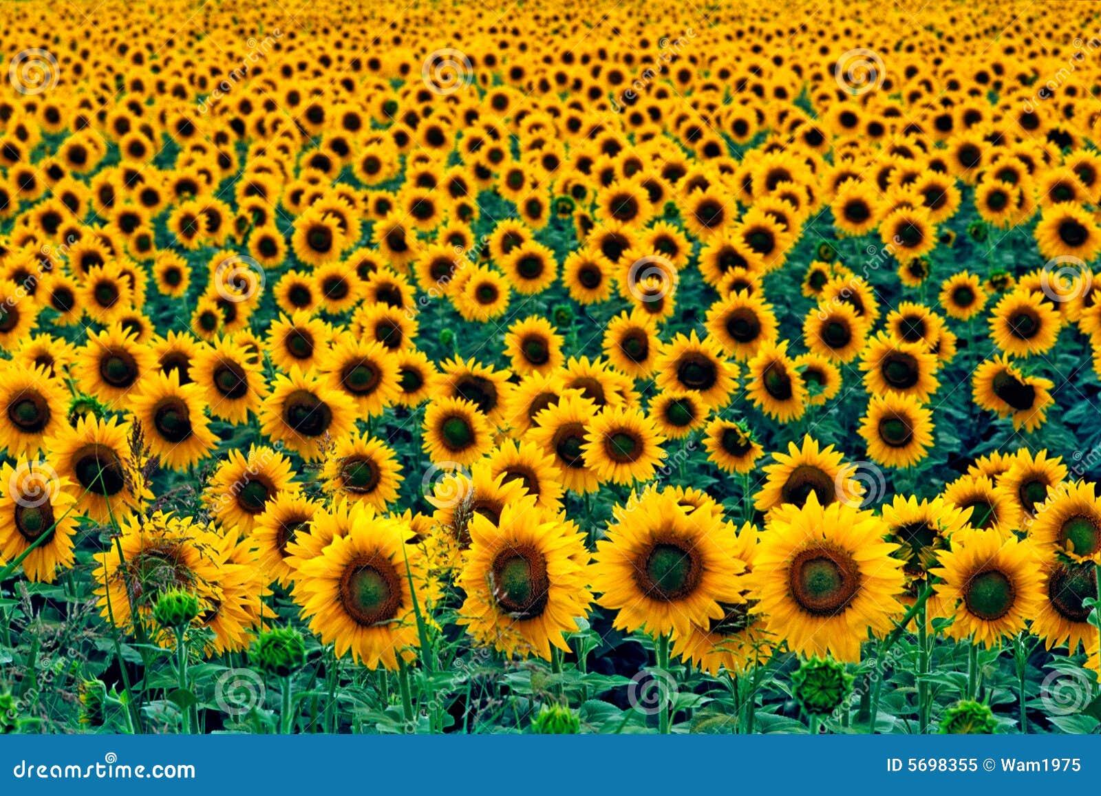 Słoneczniki polowe
