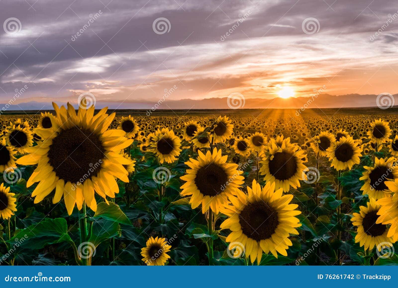 Słoneczniki przy zmierzchem