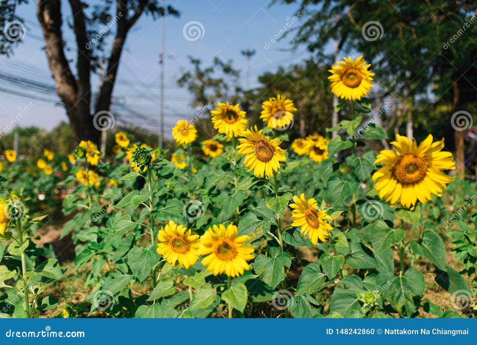 Słoneczniki w lata świetle słonecznym na zielenieją ogród