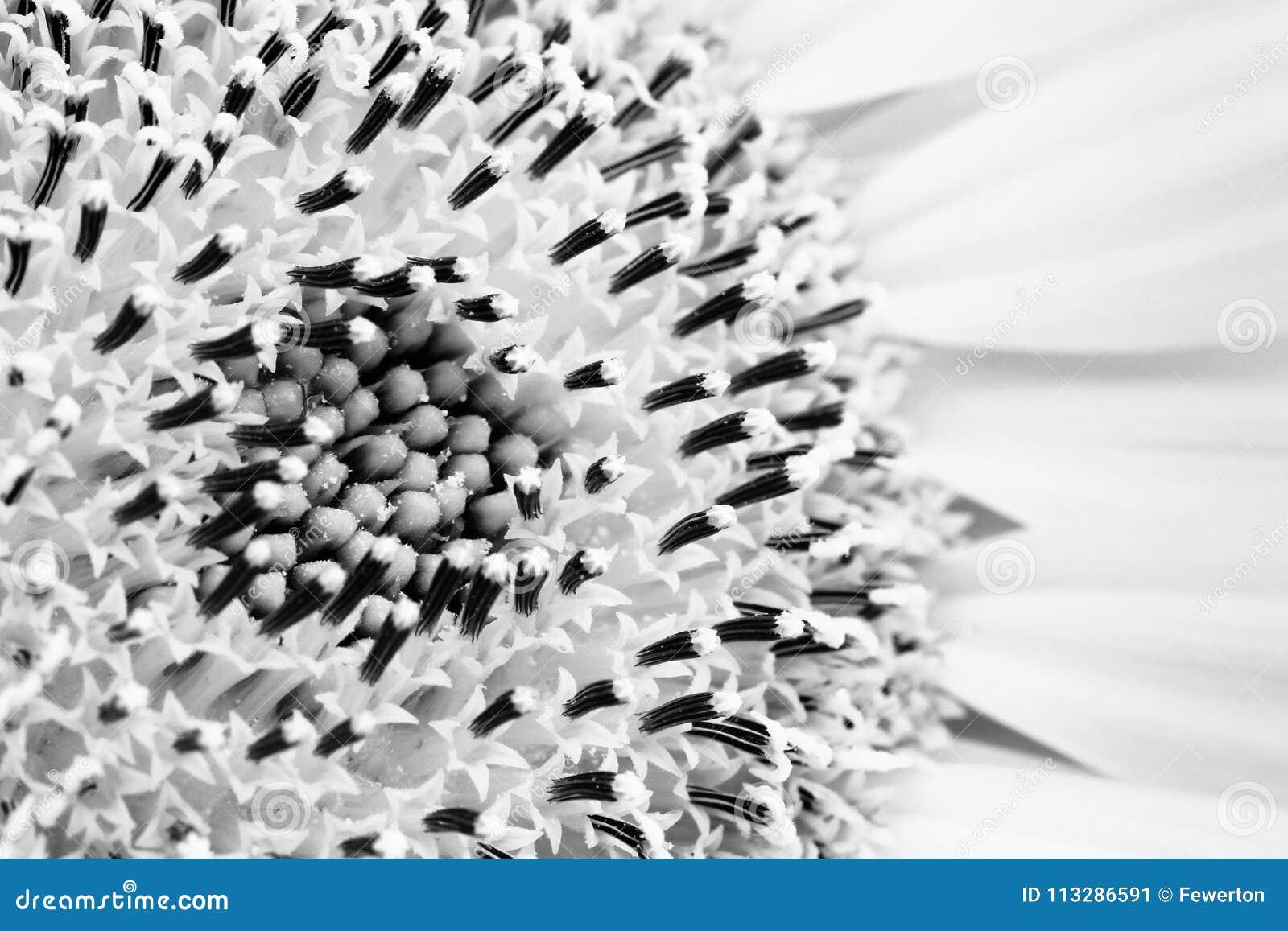 Słonecznikowy zakończenie wyszczególnia słonecznikowego dyska i talerzowych kwiaty florets w BW czarny i biały lub promienia i ma