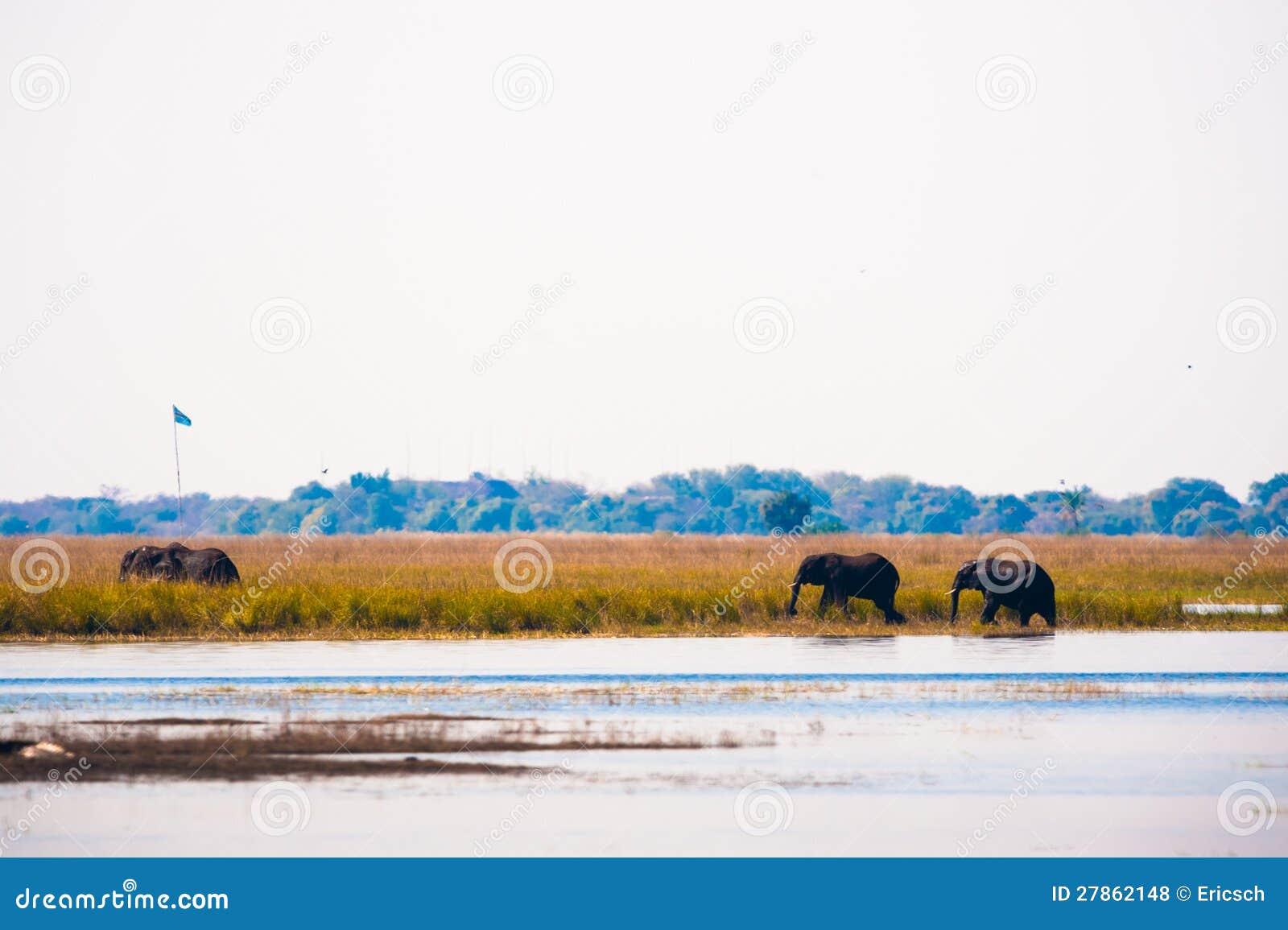 Słoni chodzić