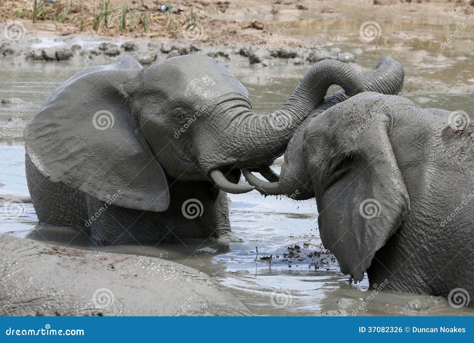 Download Słonia Borowinowy skąpanie zdjęcie stock. Obraz złożonej z ucho - 37082326