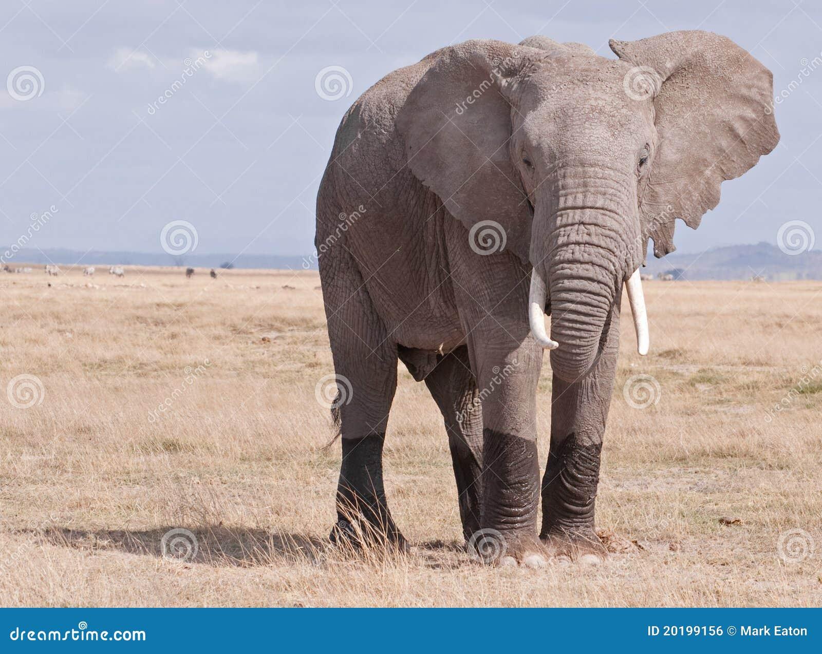 Słonia Mara masai