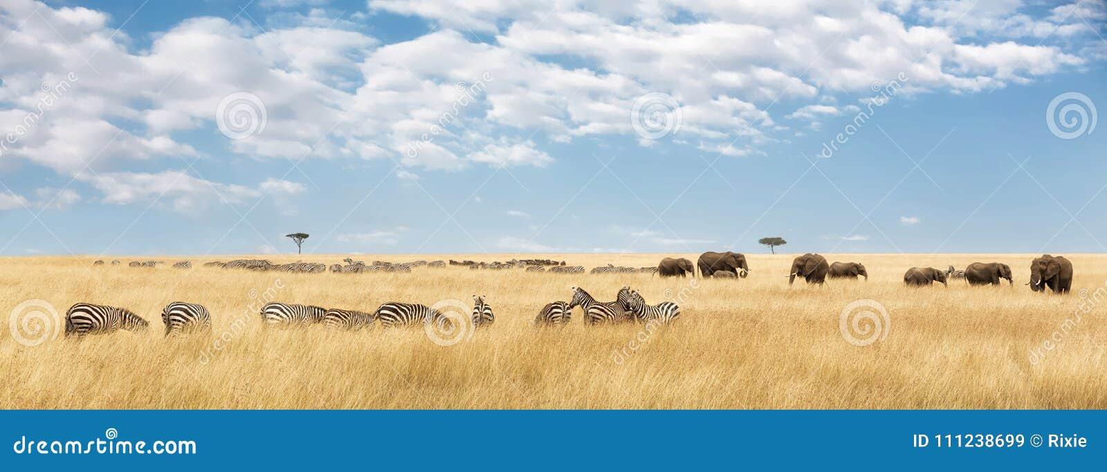 Słonie i zebry panorama