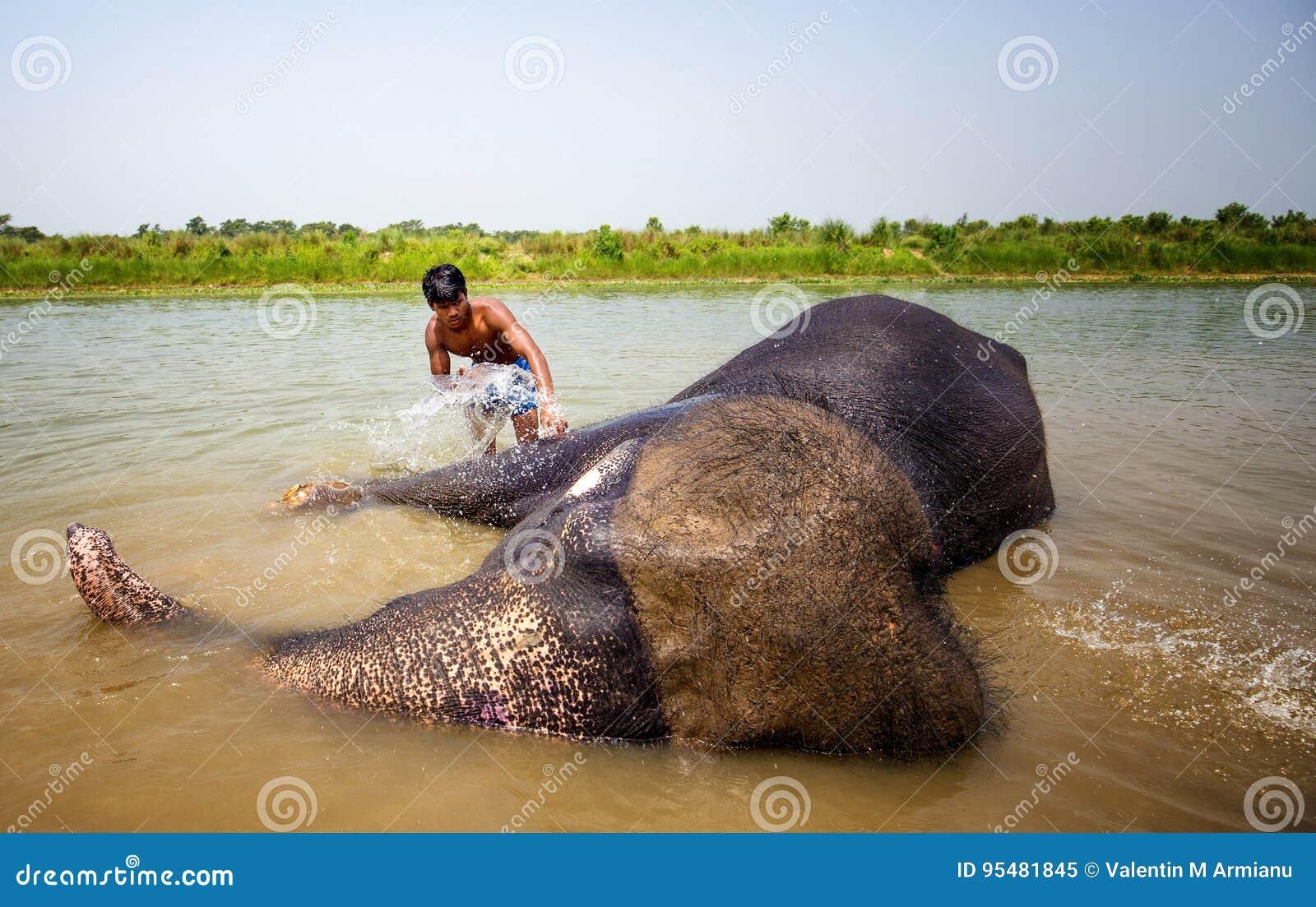 Słonie myje w rzece