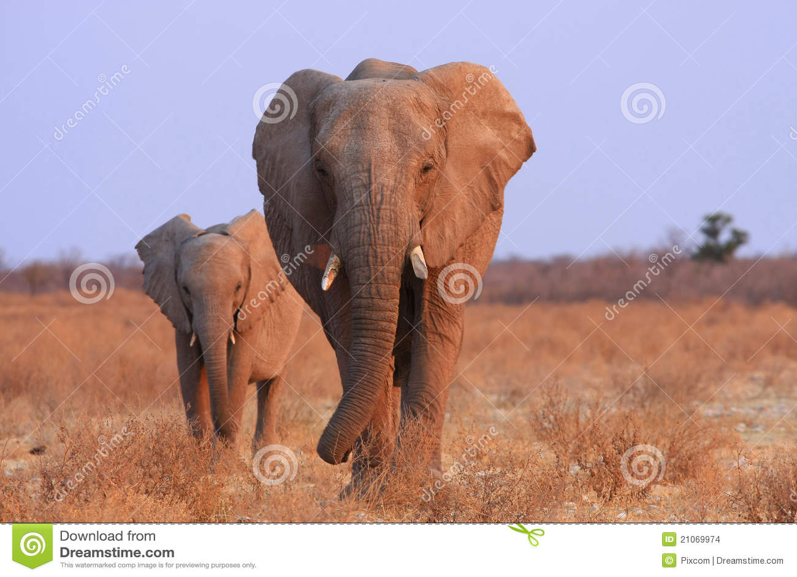 Słonie Namibia
