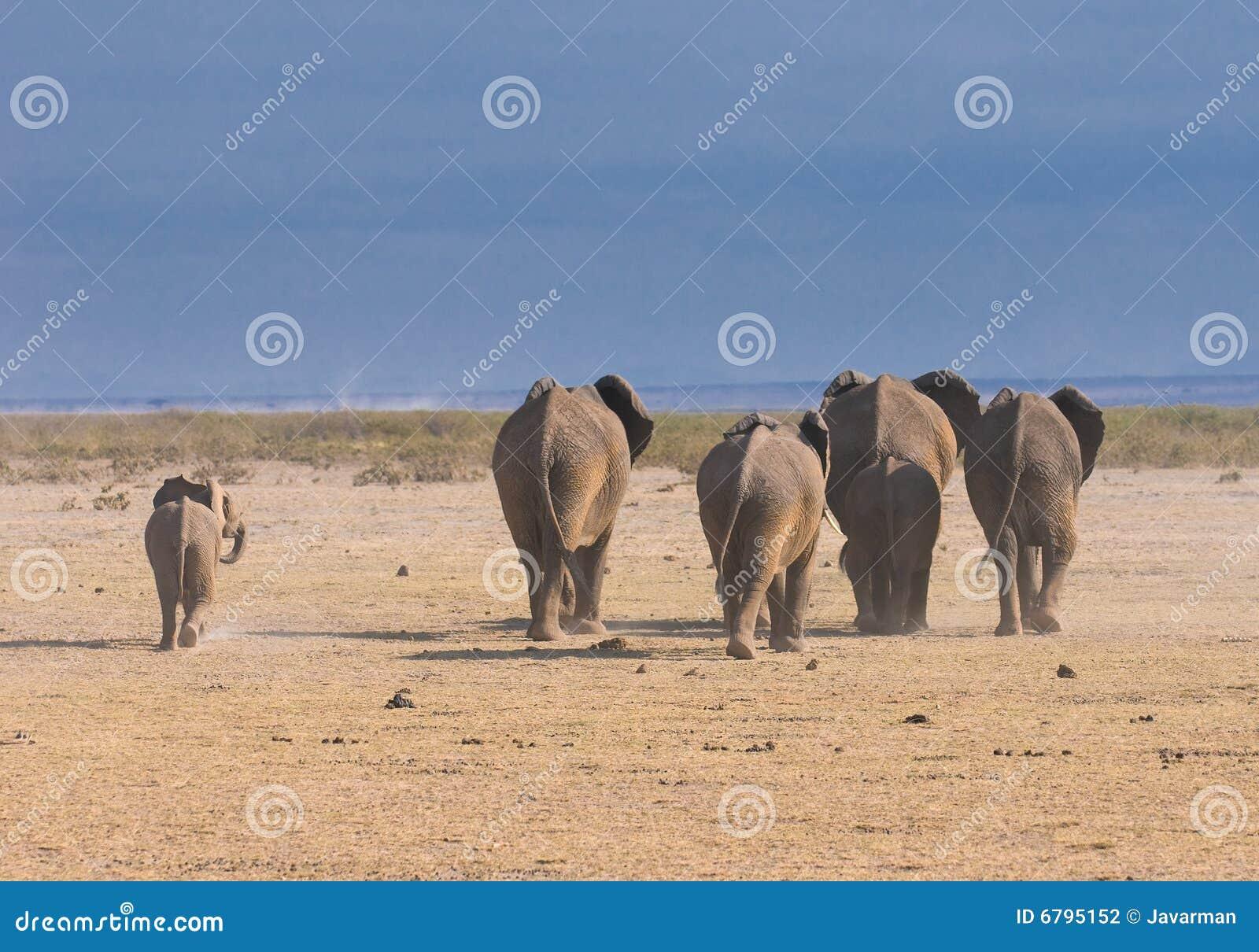 Słonie, tylni widok, amboseli, Kenja