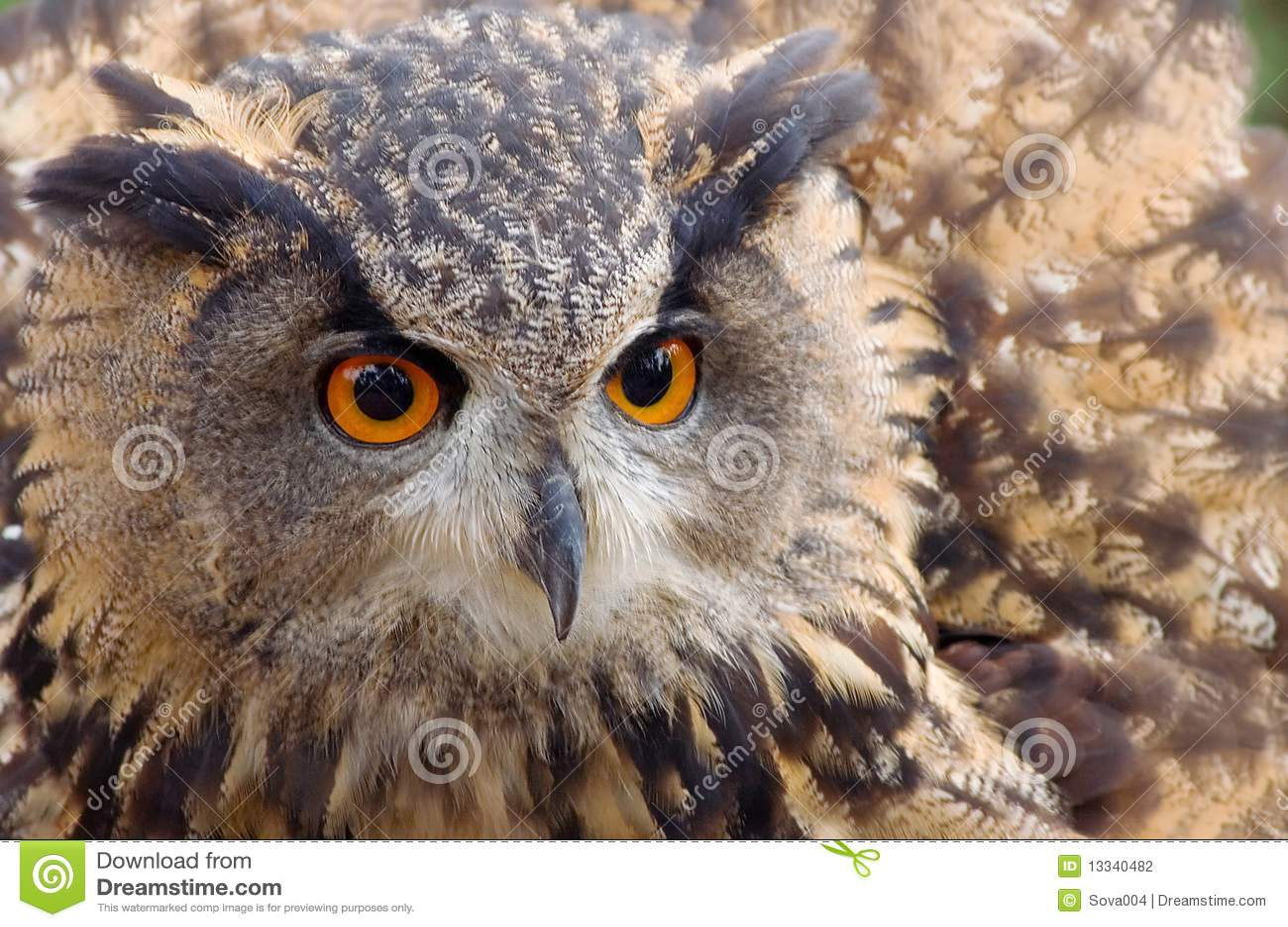 Słyszącego oka długa sowy czerwień