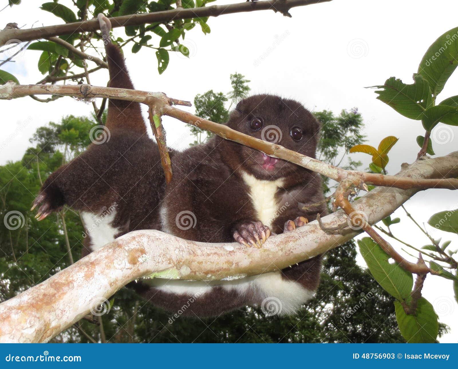 S élever de cuscus de montagne