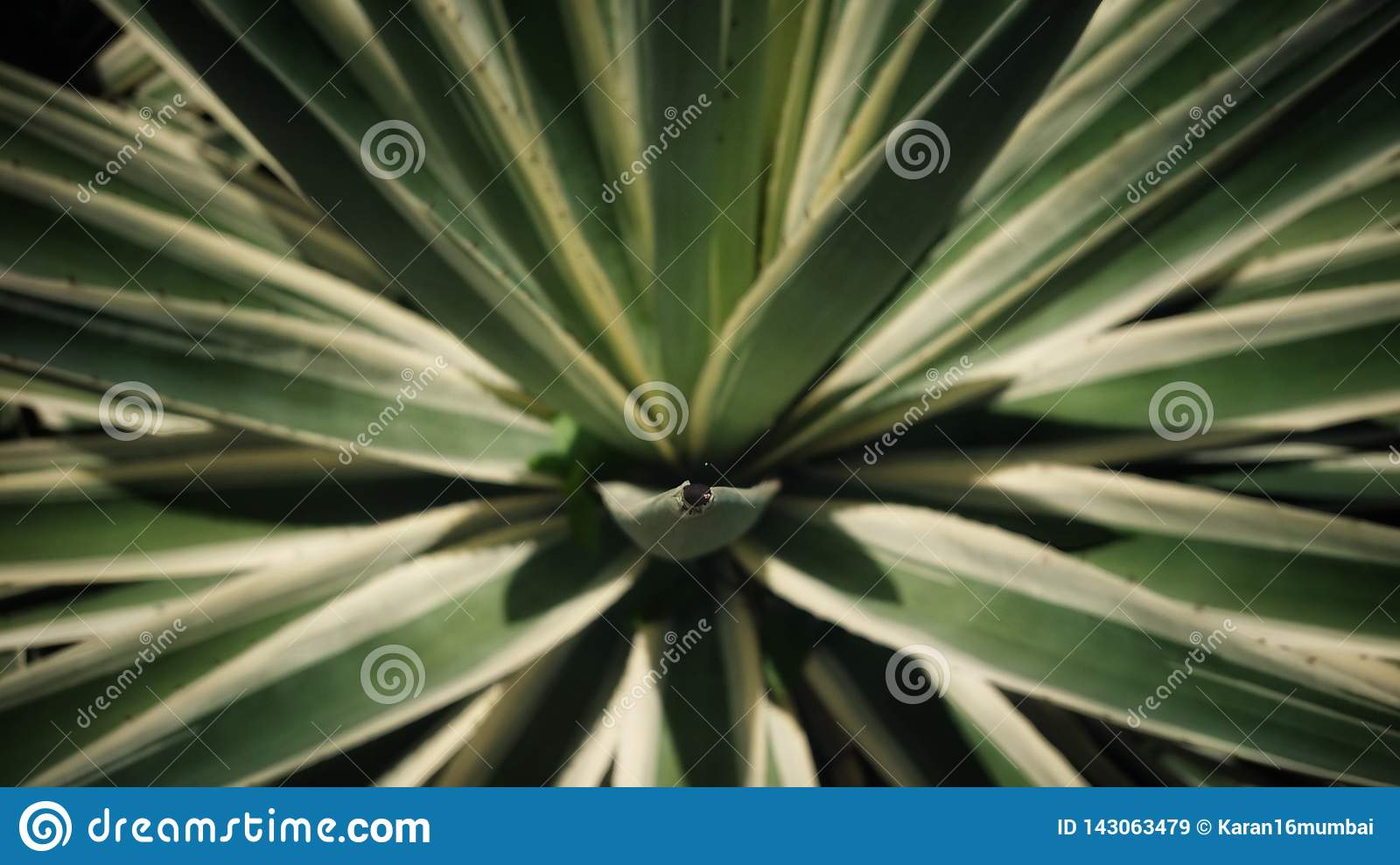 It`s called the Agave Azul Tequilana. A plant local to Seychelles