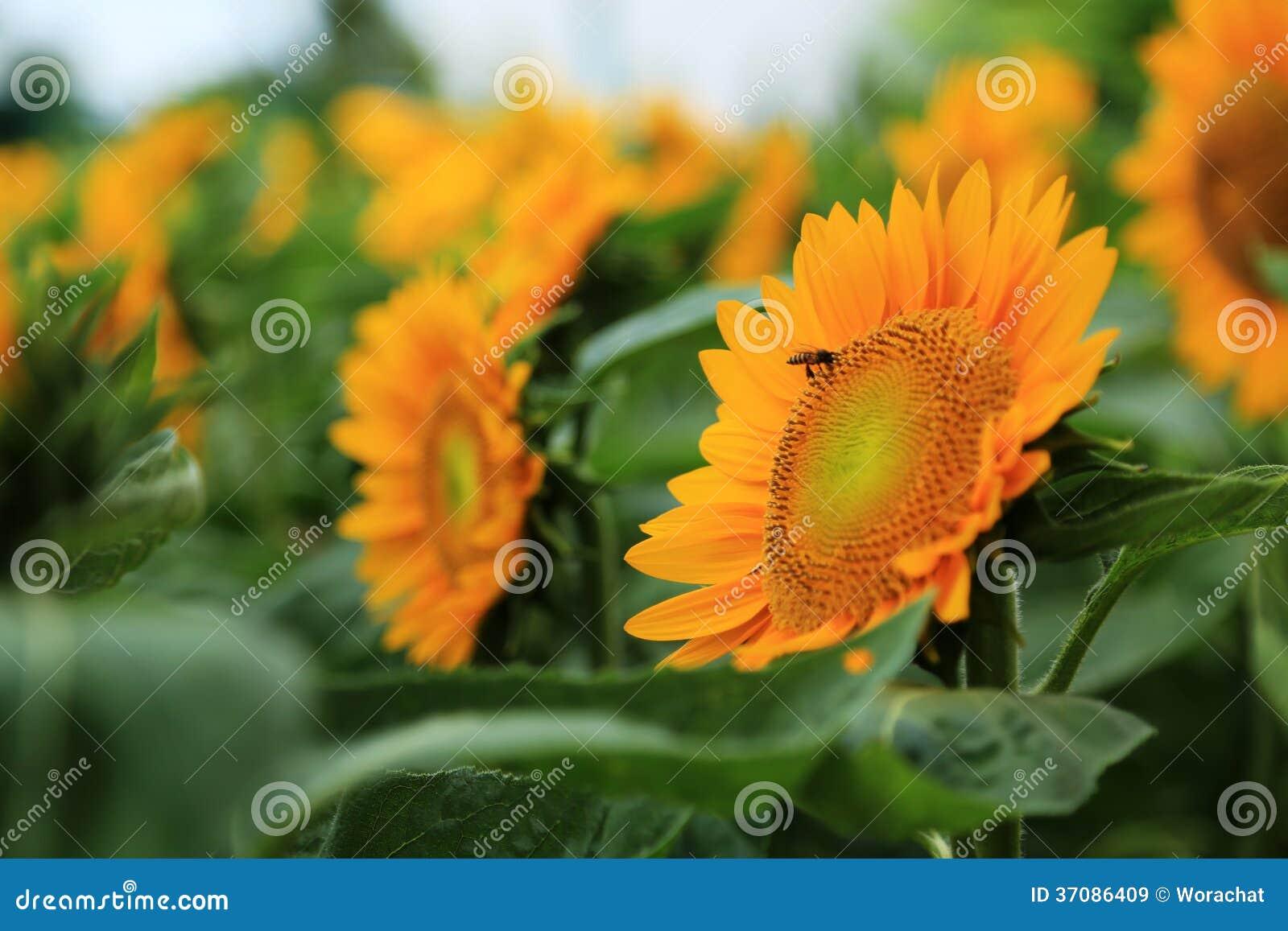 Download Słonecznik obraz stock. Obraz złożonej z natura, ogród - 37086409