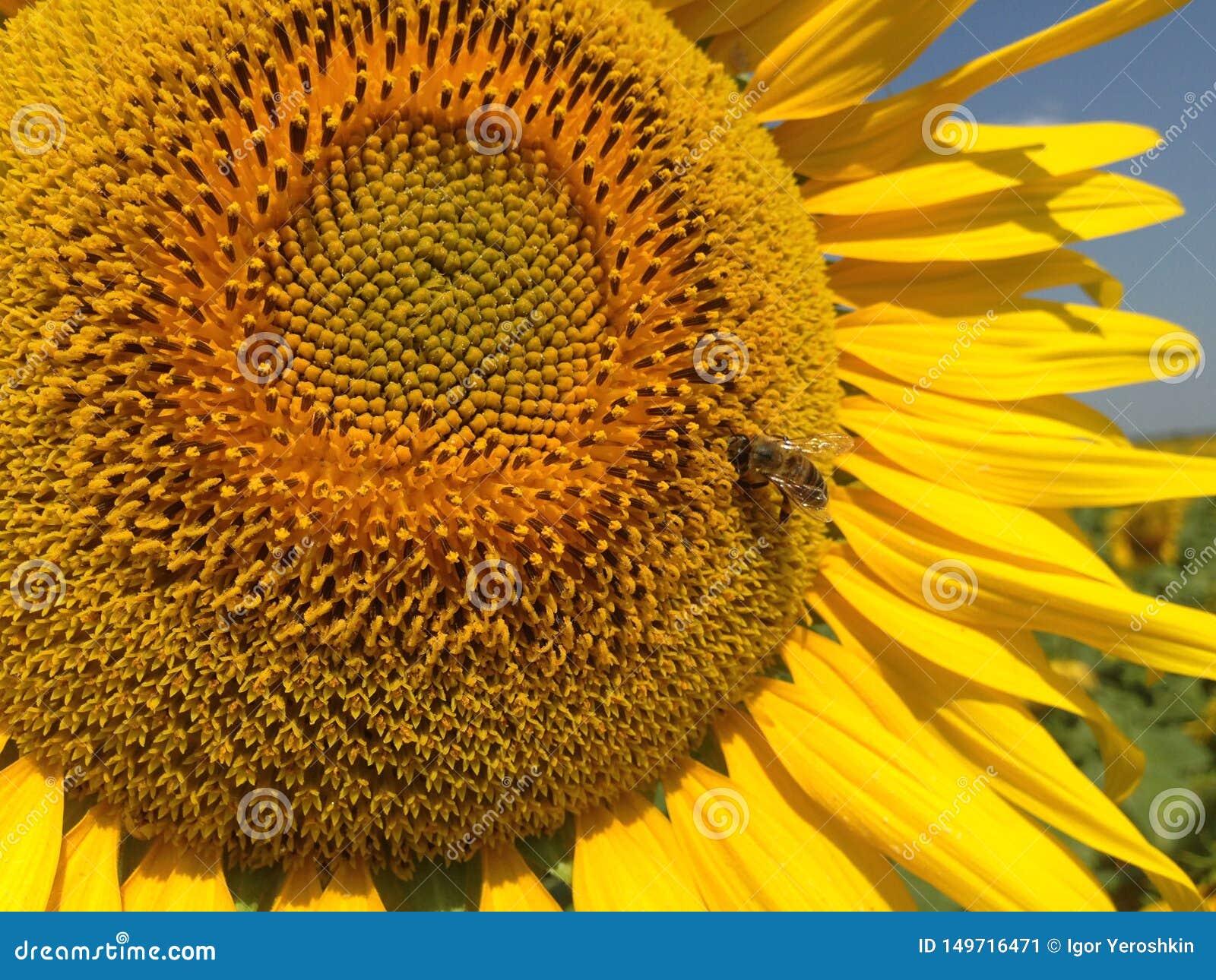 S?onecznik Z Z?otymi p?atkami Pszczo?y obsiadanie na zbierackim nektarze i kwiacie