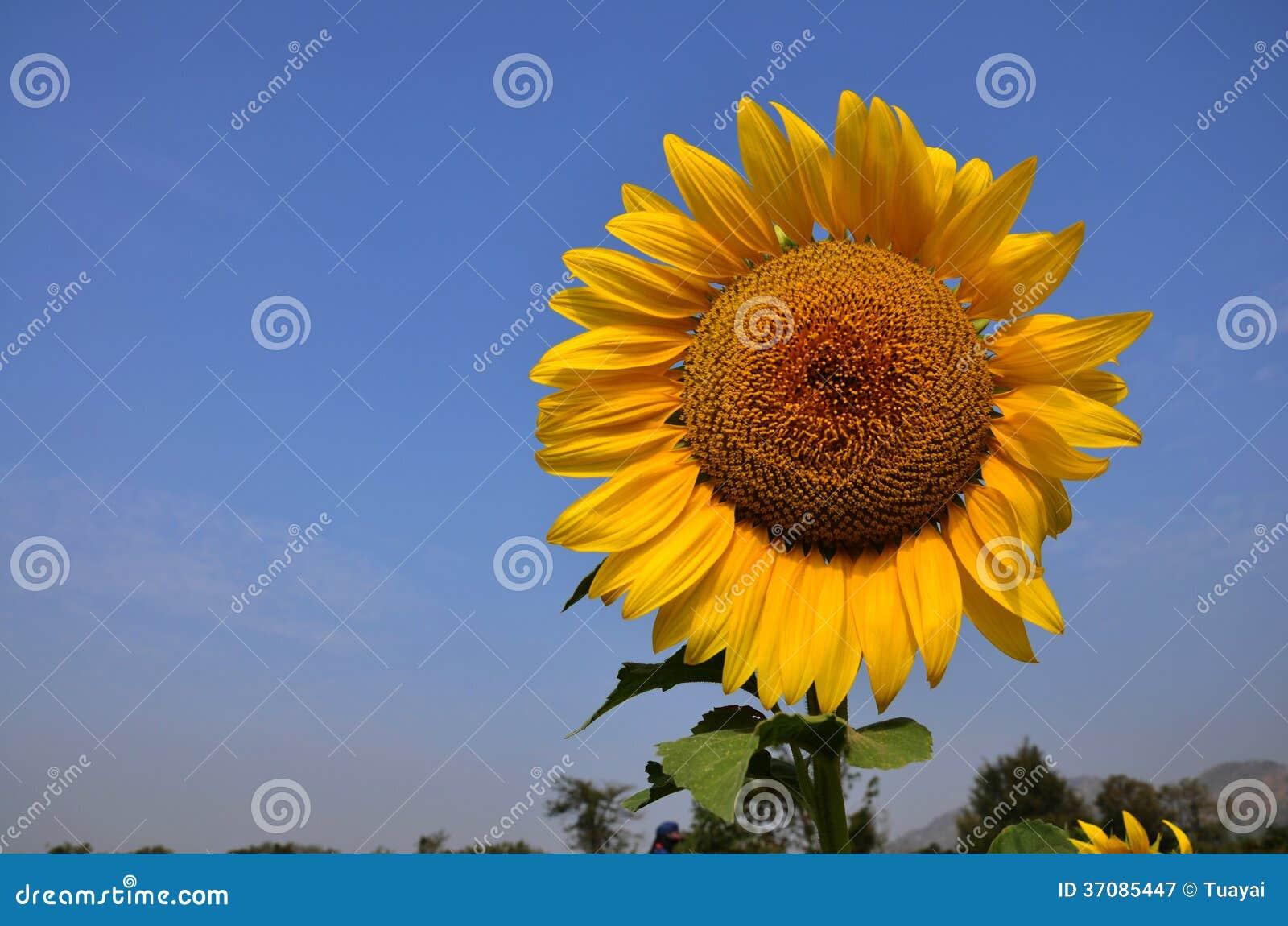 Download Słonecznika Pole Przy Saraburi Tajlandia Obraz Stock - Obraz złożonej z natura, płatek: 37085447