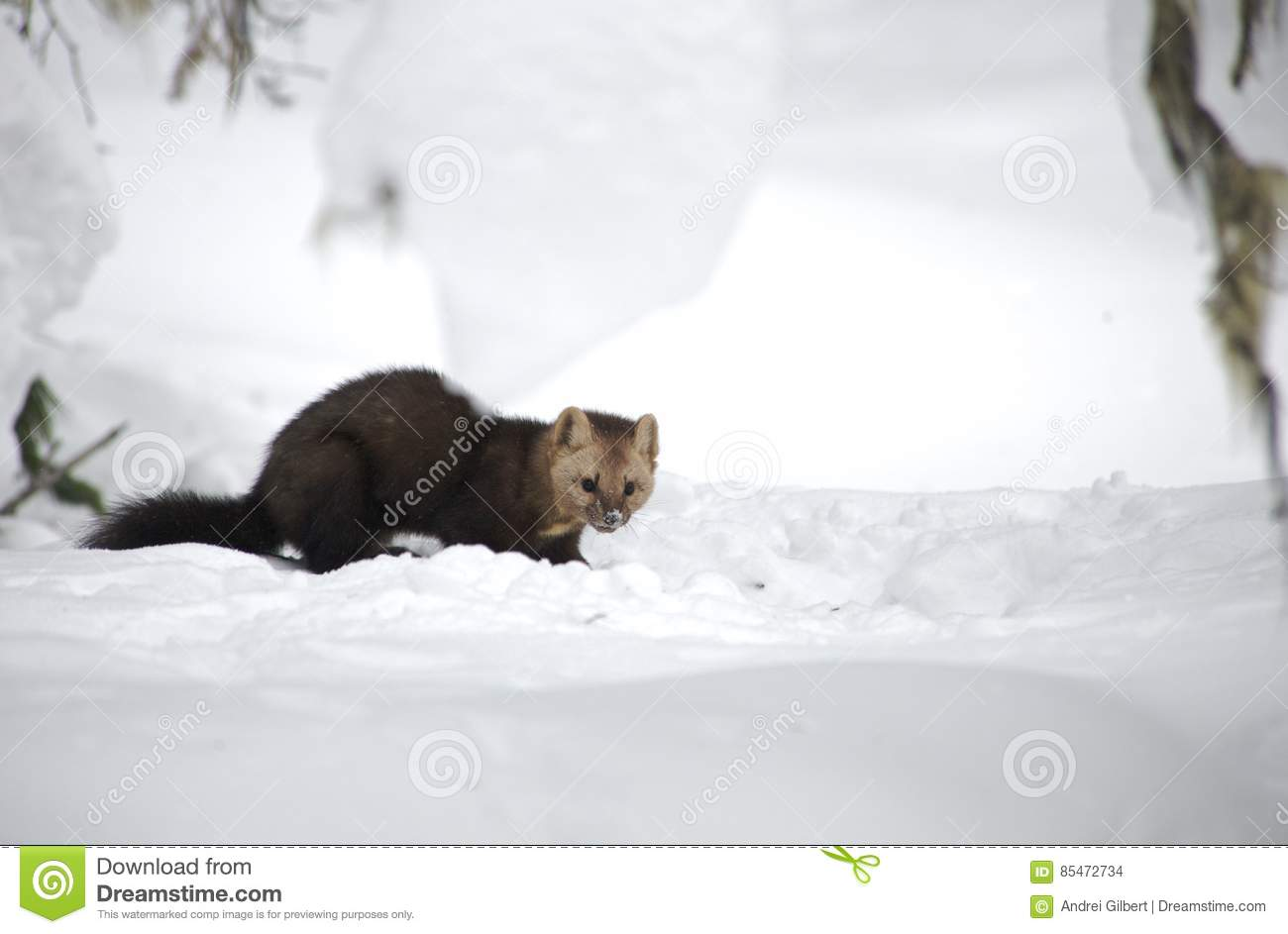 Sable on a background of snowdrifts