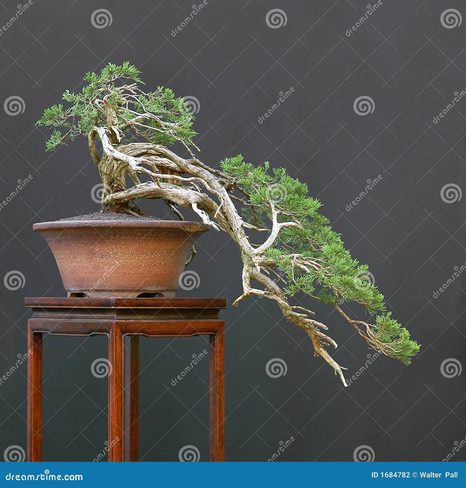 Sabna juniper bonsai cascade