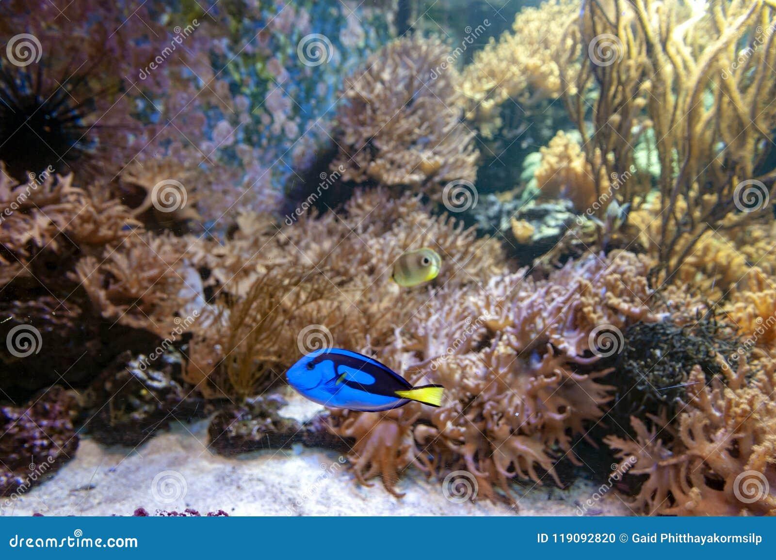 Sabor azul real, surgeonfish de la paleta, o sabor del hipopótamo, un surgeonfish Indo-pacífico de la especie del hepatus de Para