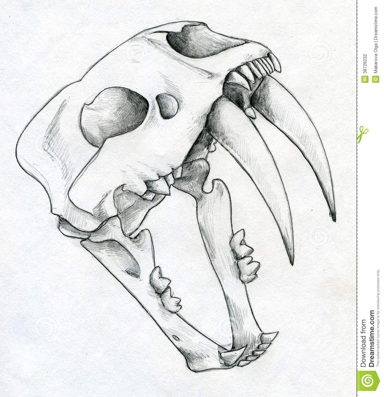 hand drawn scull of an extinct sabre toothed tiger stock