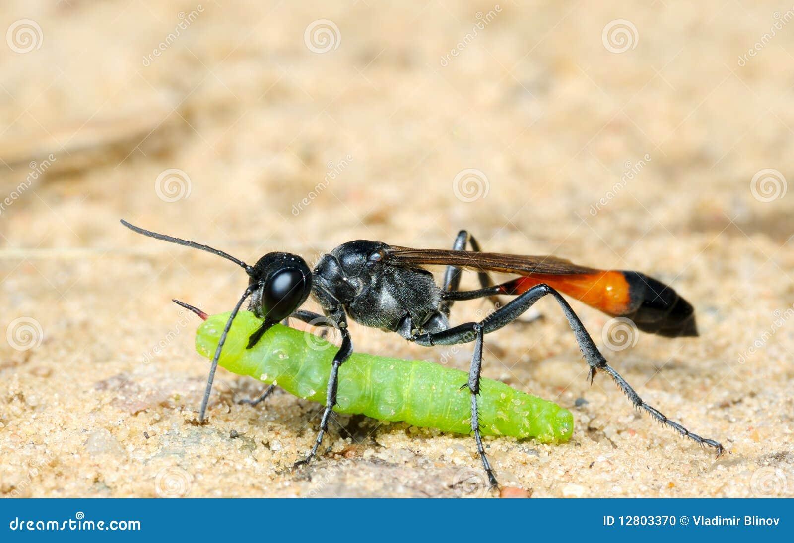 Sabulosa de Ammophila da vespa com rapina