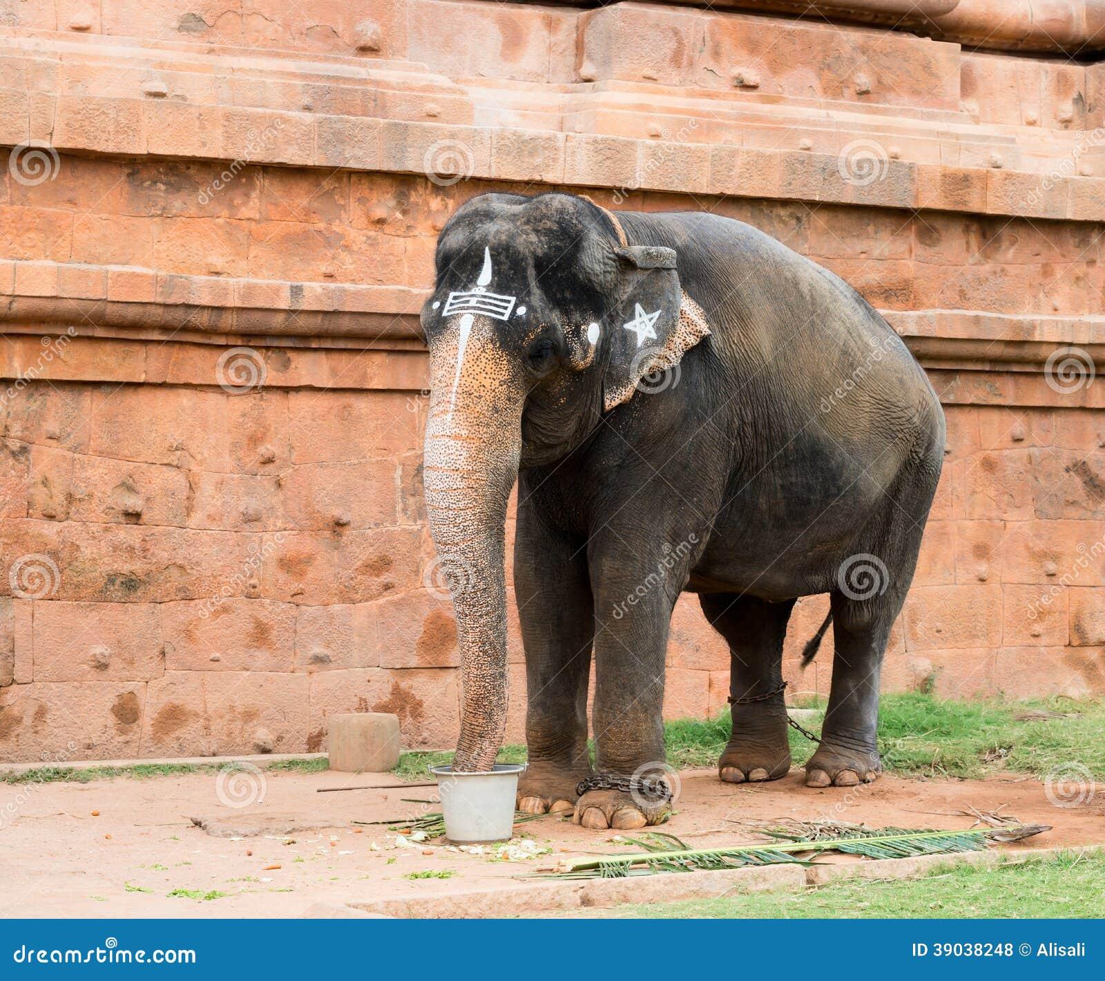 Sacred elephant drink from a bucket in Hindu temple Brihadishwara ...