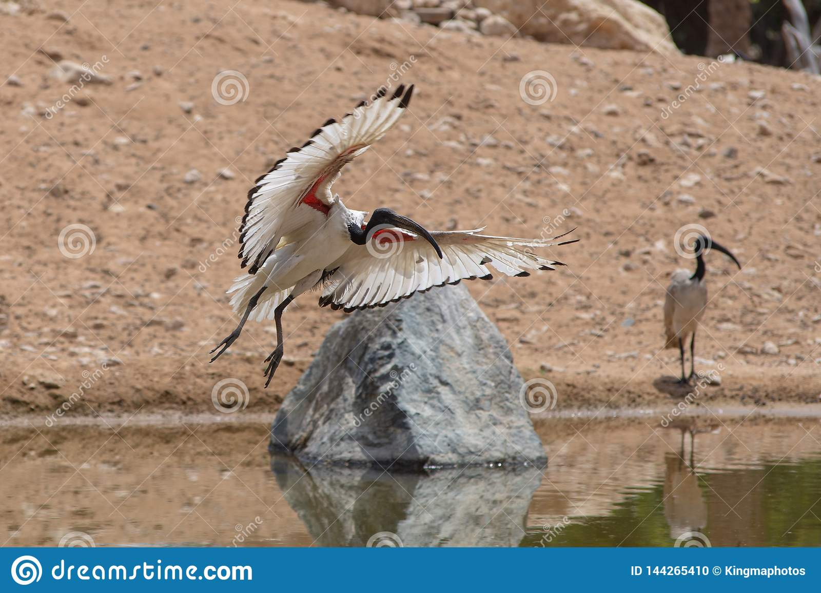 A Sacred Ibis landing showing off its beautiful white and red wings against a sandy background near a pond Threskiornis