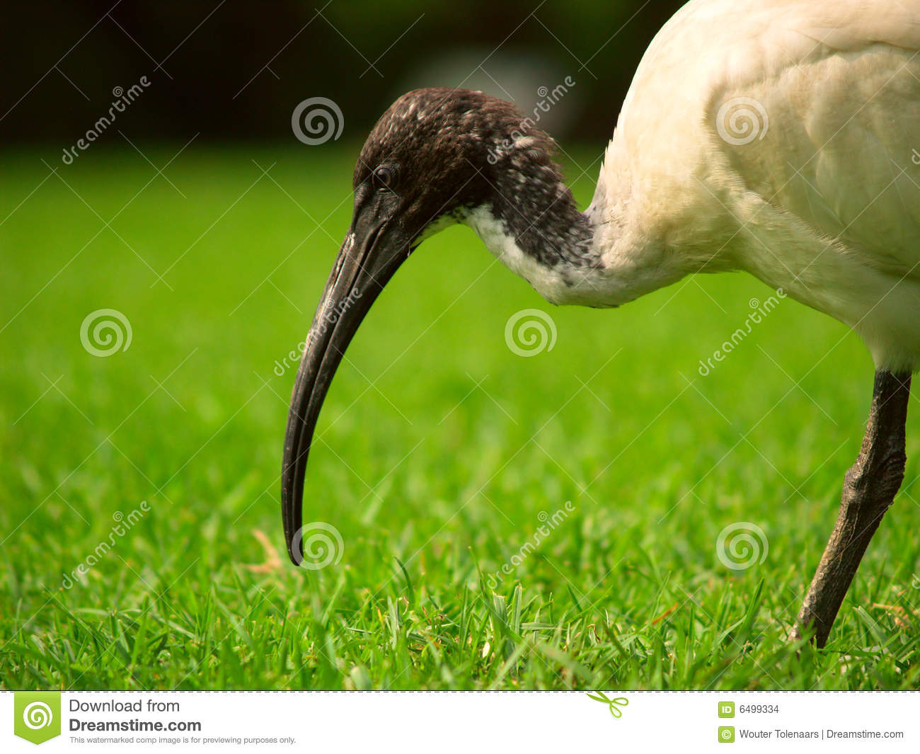 A Sacred Ibis in a park