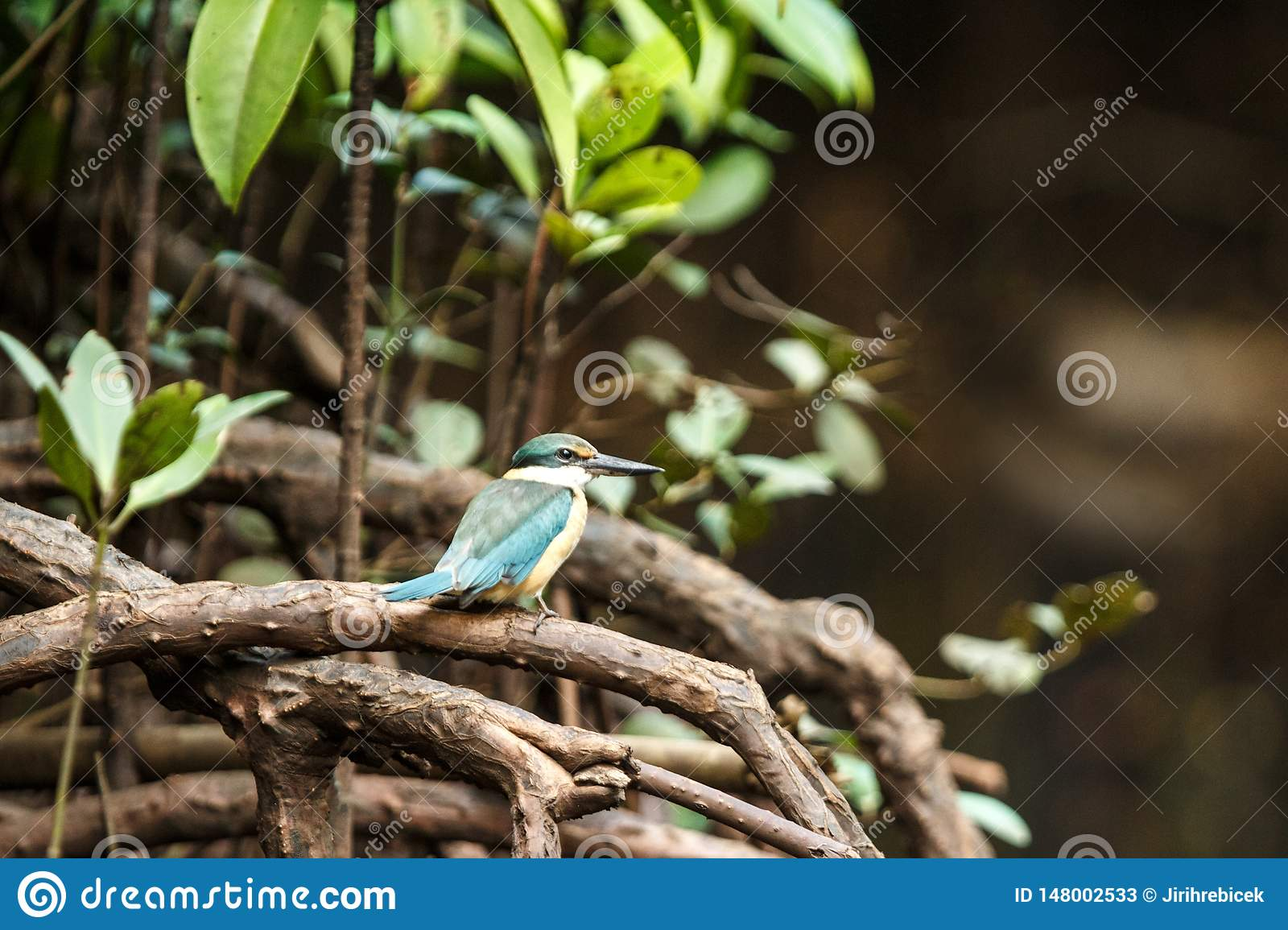 The sacred kingfisher Todiramphus sanctus perches on a branch in mangrove bush, family Alcedinidae, endemic species to Indonesia