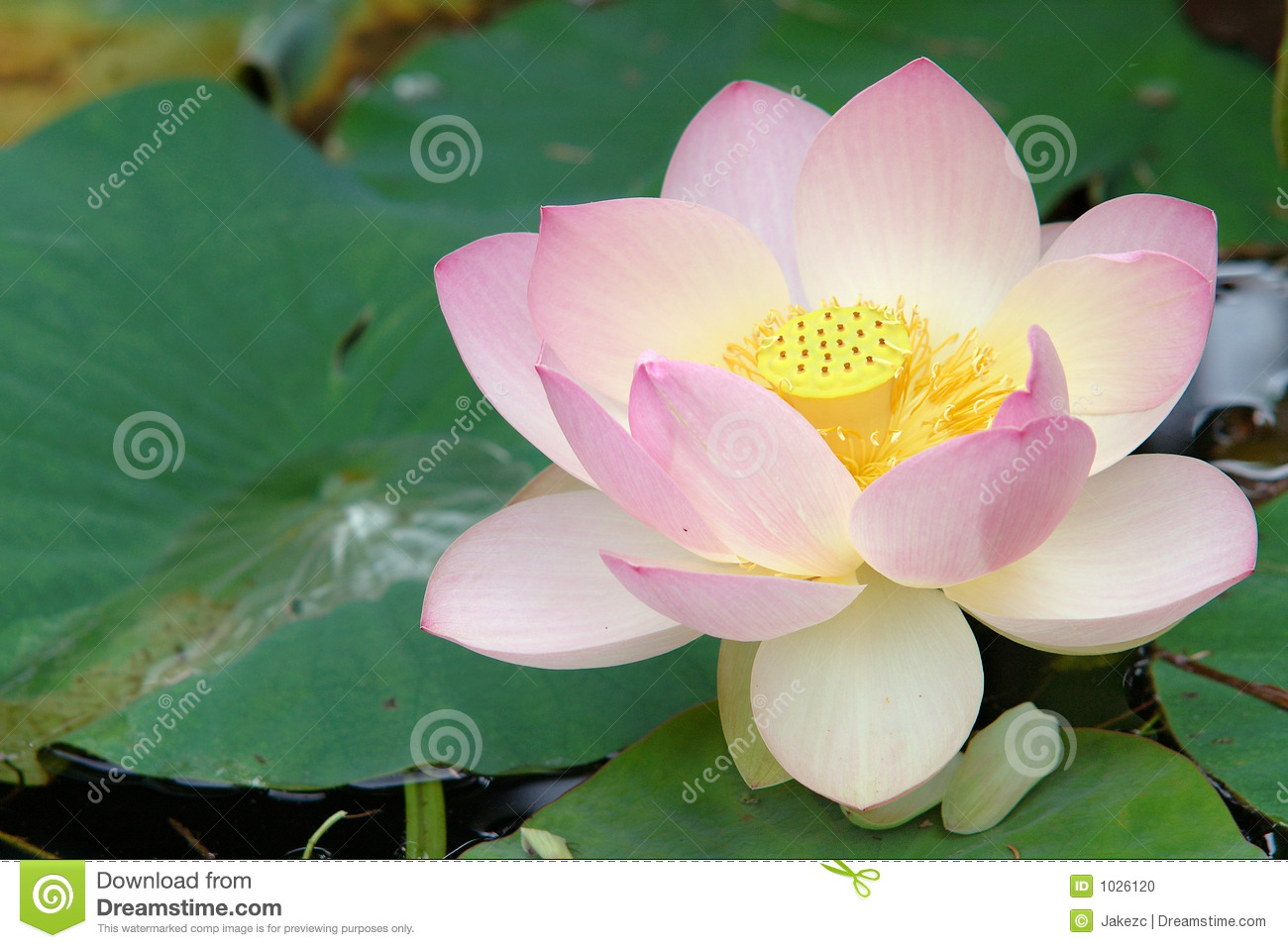 Sacred Lotus Flower Close Up Stock Photo Image Of Lily Bloom