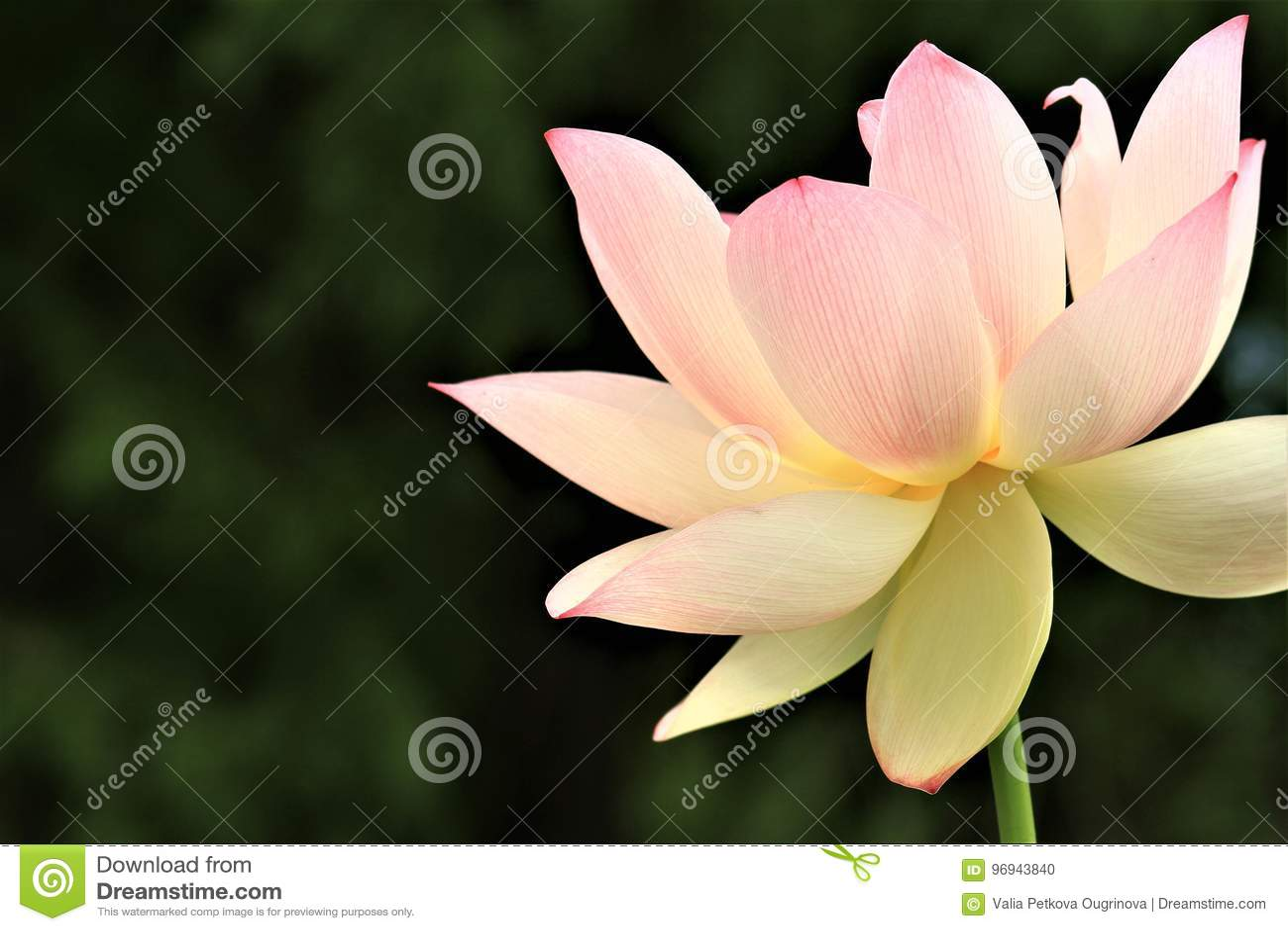The Sacred Lotus Stock Photo Image Of Lotus Kenilworth 96943840