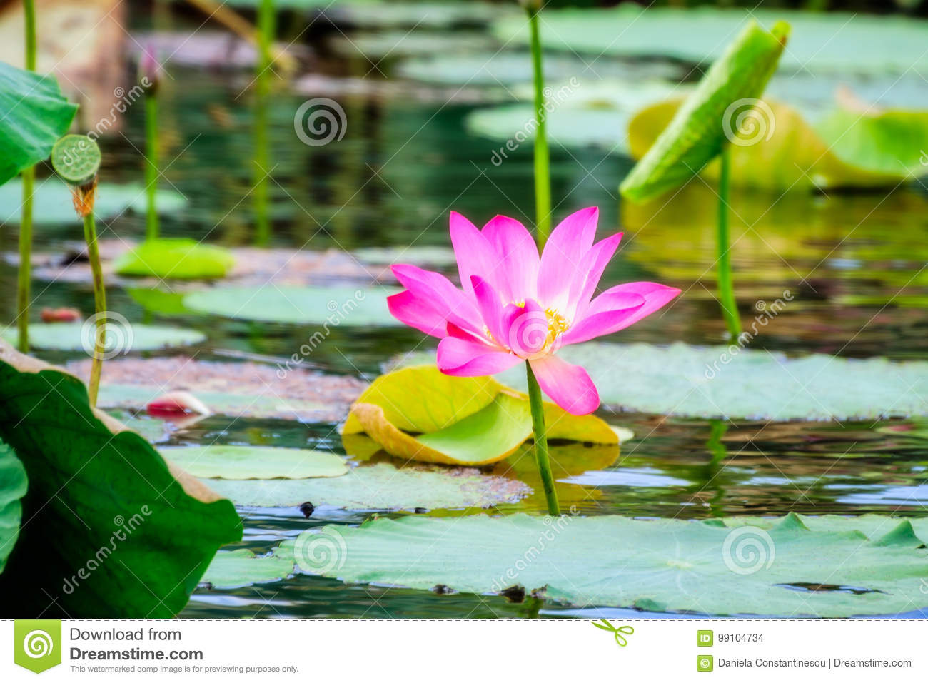 Sacred Lotus With Large Pink Flowers At Corroboree Wetlands Nt