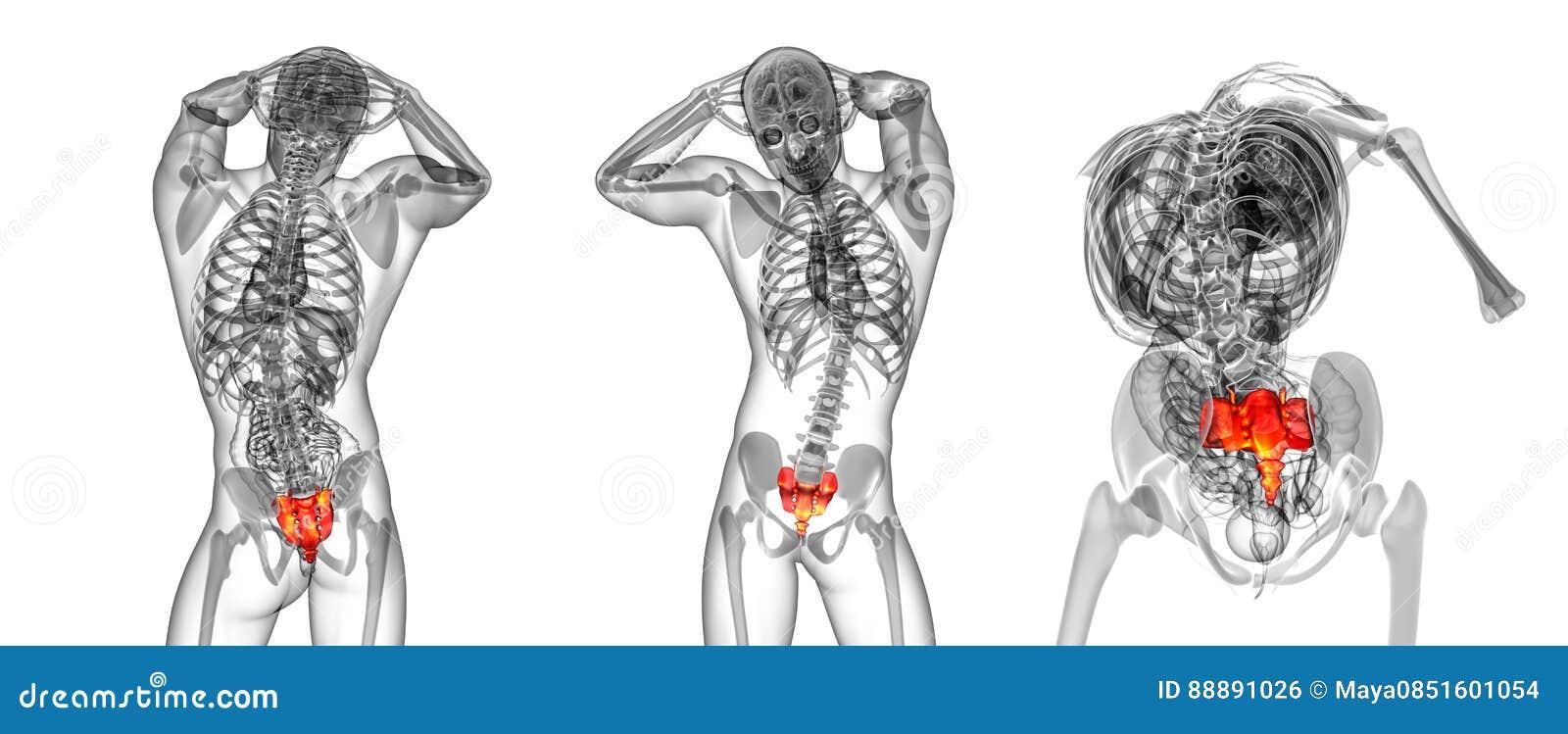 Sacrum Bone Stock Illustration Illustration Of Fibula 88891026