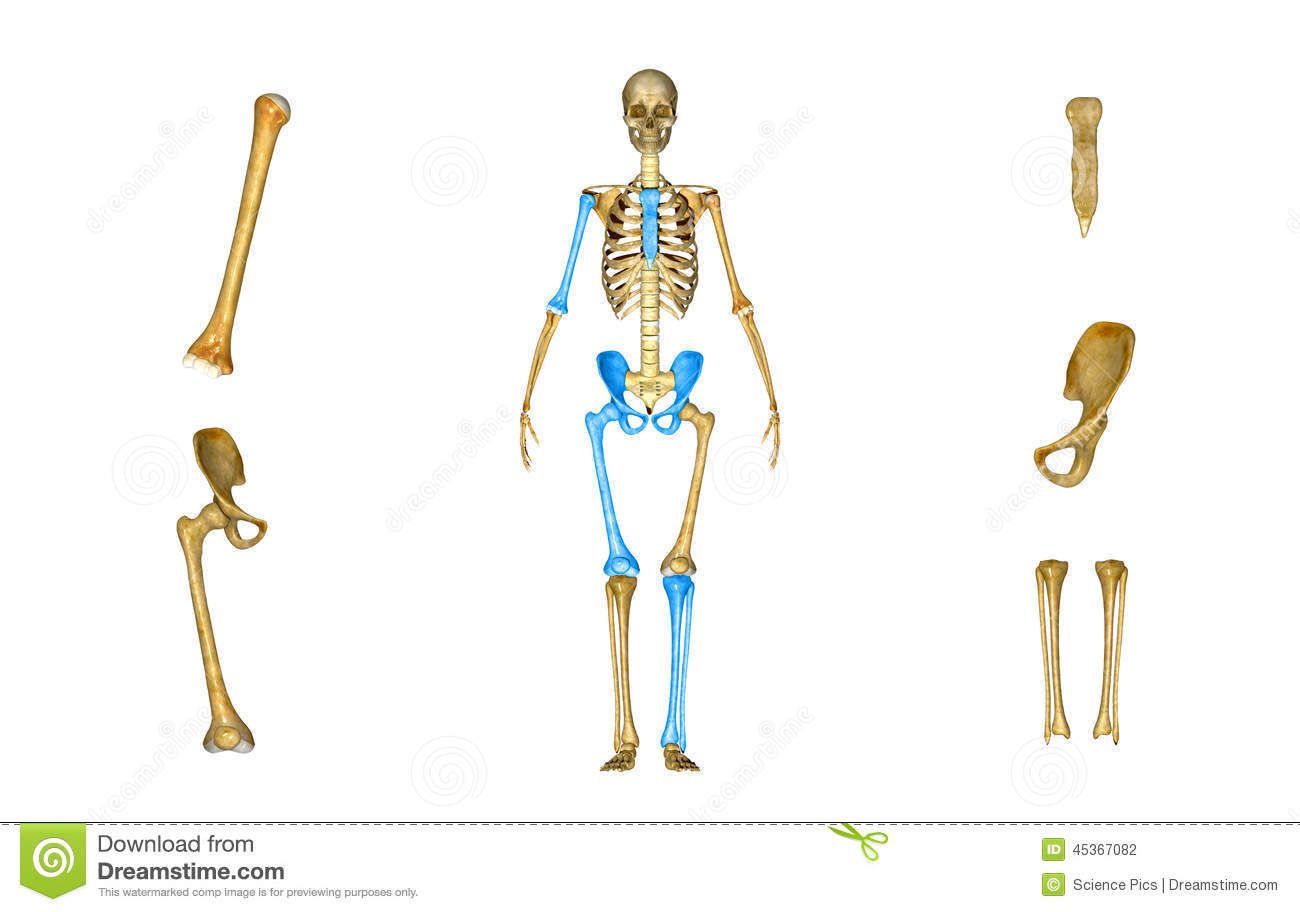 Sacrum Humerus Femur Tibia And Fibula Pelvic Or Hip Stock Photo