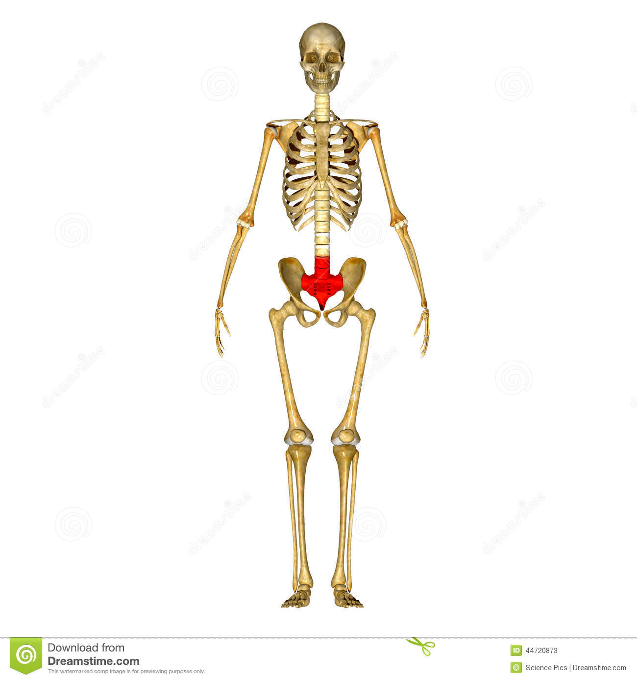 Sacrum Stock Illustration - Image: 44720873