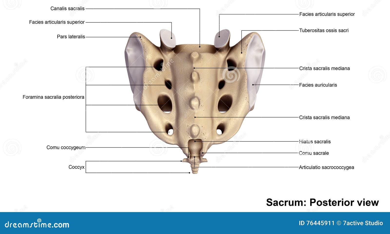 Erfreut Anatomie Sacrum Fotos - Anatomie Und Physiologie Knochen ...