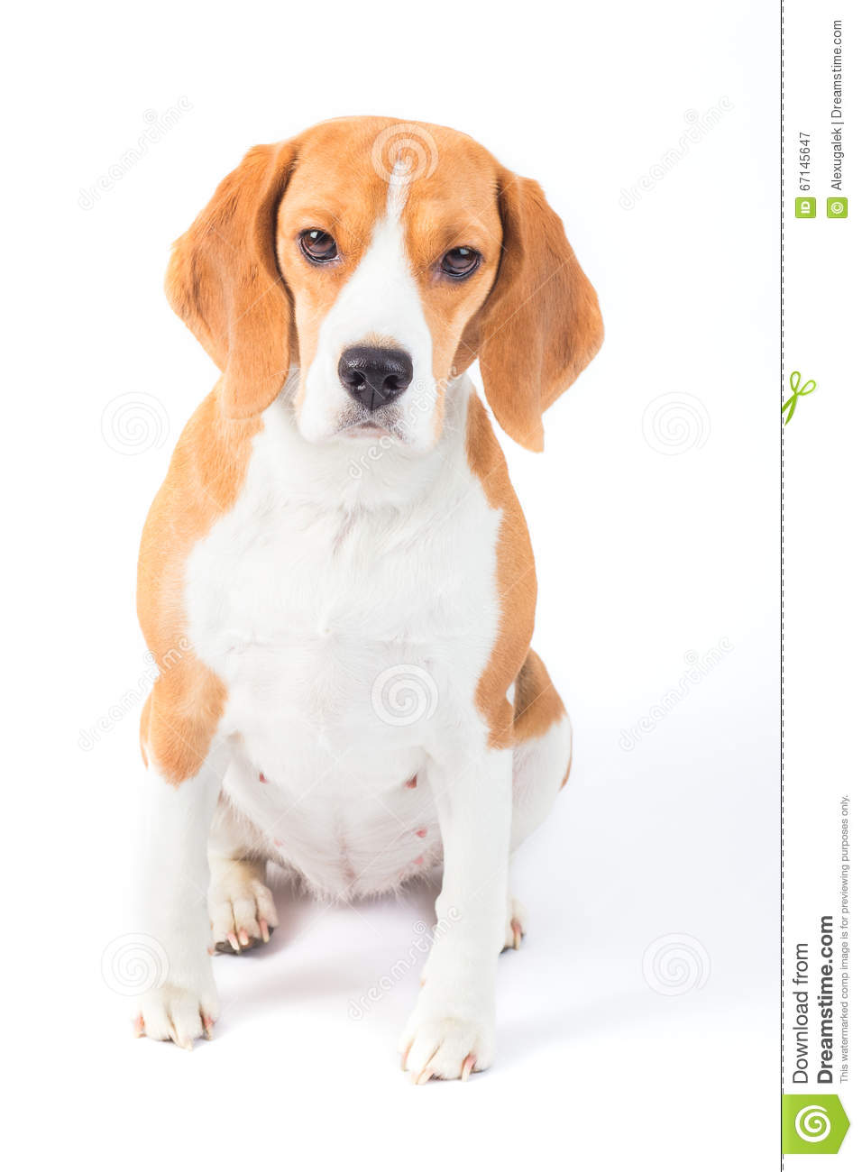 Sad beagle dog portrait