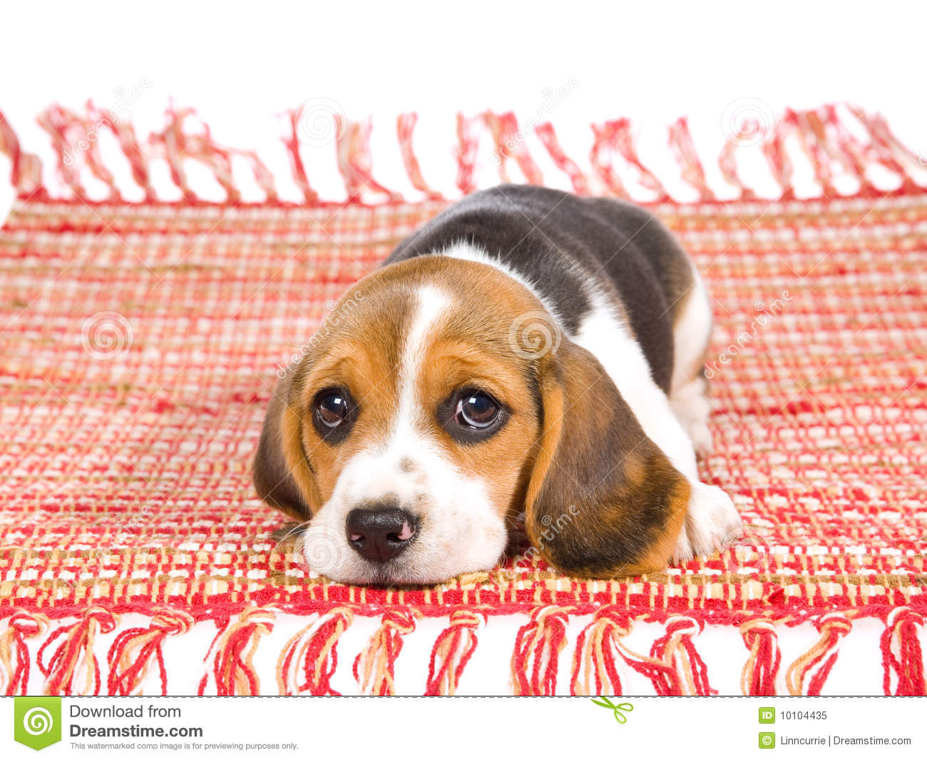 Sad Beagle Puppy Lying On Red Carpet Stock Image Image