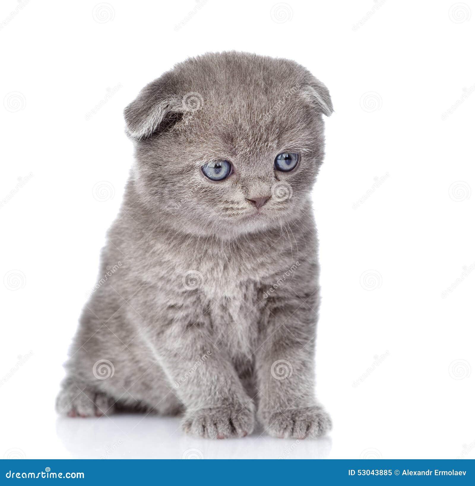 Sad British Shorthair Cat Stock s Royalty Free