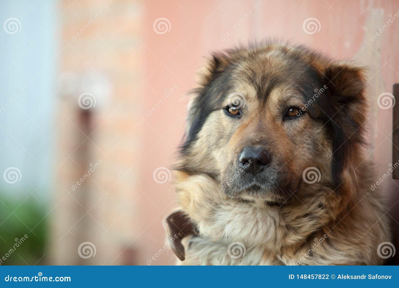 Sad Caucasian shepherd sitting on a chain guarding the house
