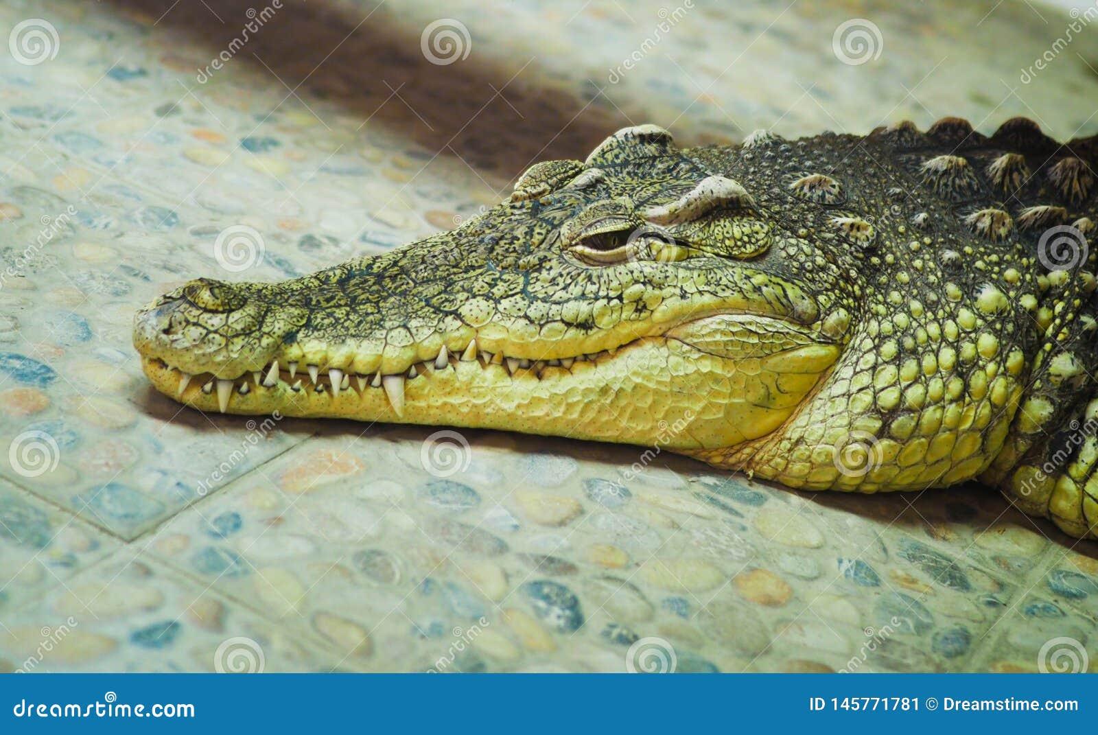 Sad crocodile lying n
