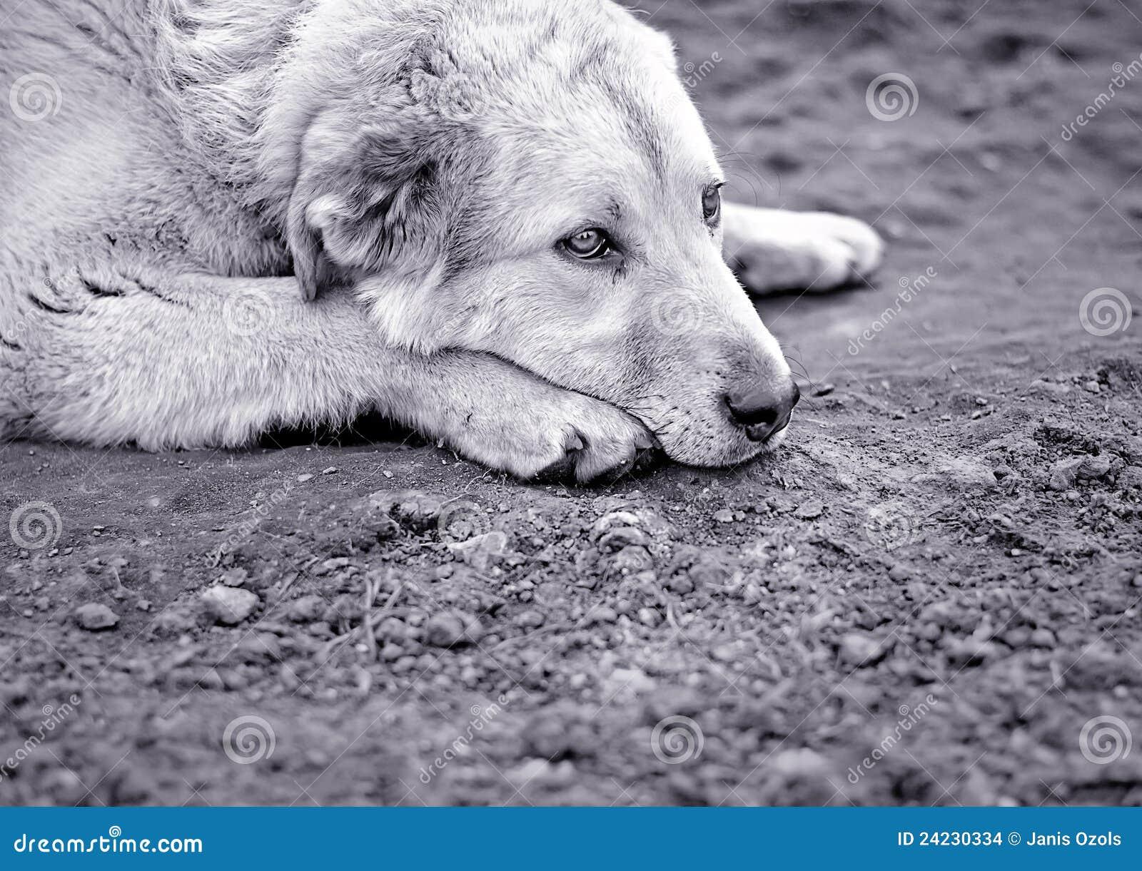Sad Dog Stock Photo Image Of Abandoned Head Kennel