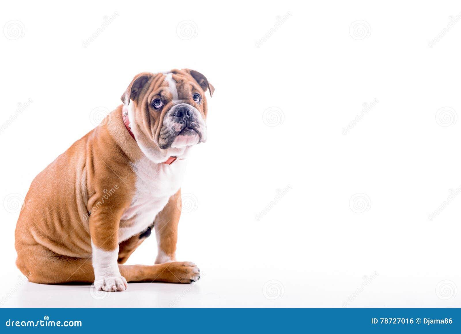 SAD engelsk bulldogg