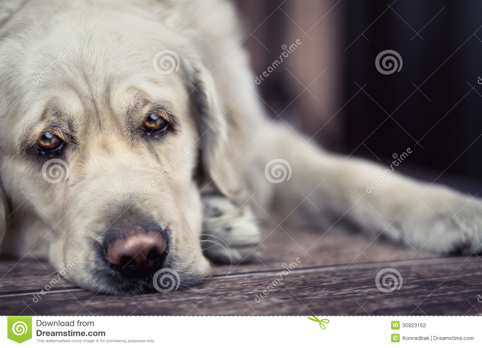 Cartoon dog stock photos images amp pictures shutterstock - Sad Eyes Of Big White Dog Stock Photography Image 30923162