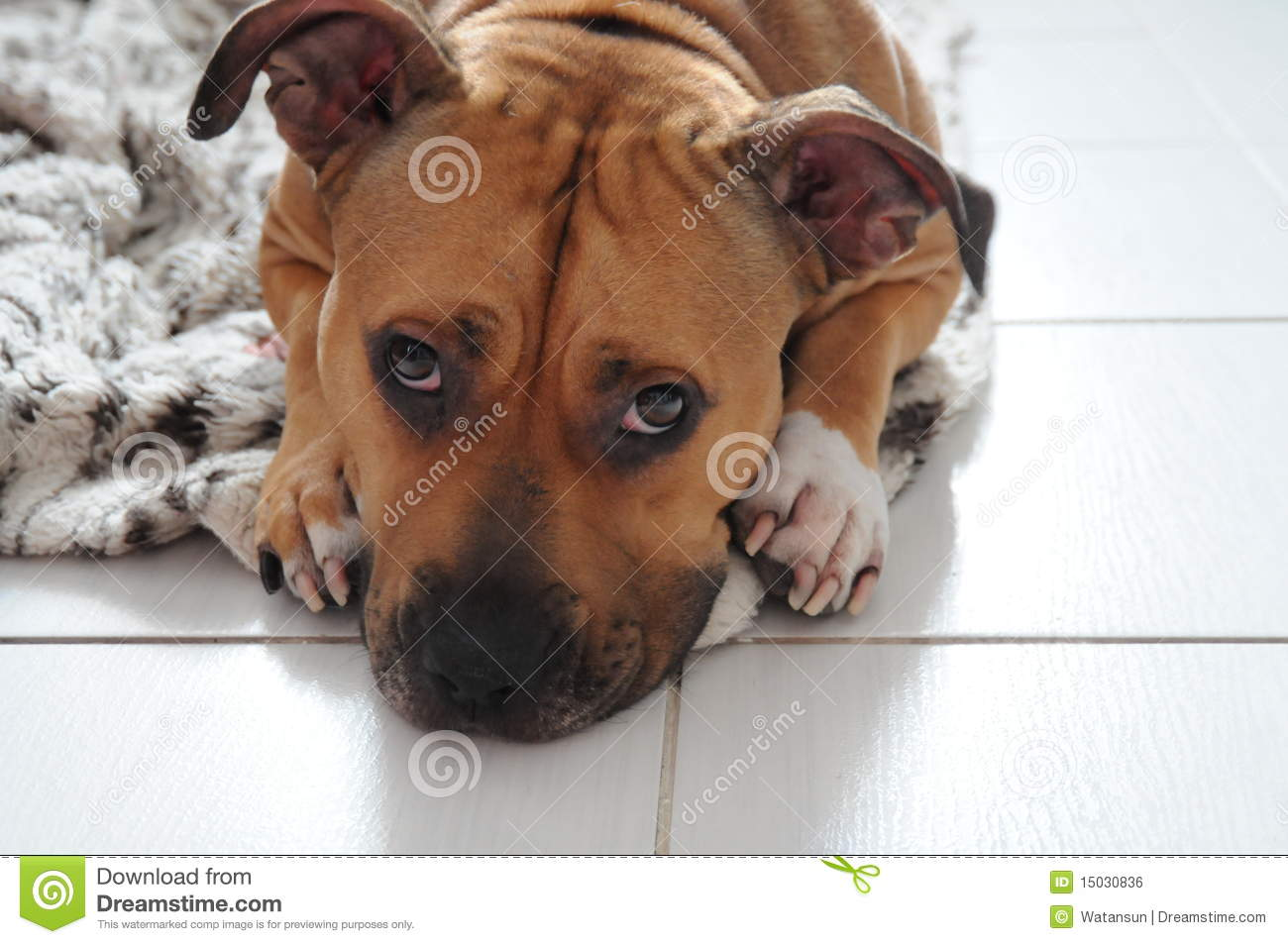 Sad Face Dog Royalty Free Stock Image Image 15030836