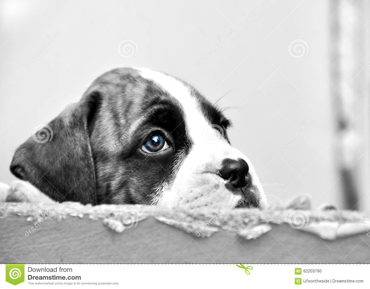 Sad face eyes little boxer puppy dog hoping to be chosen for new forever home