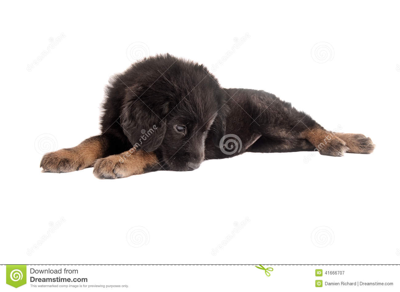 Amazing Sad Black Adorable Dog - sad-fluffy-puppy-adorable-black-tan-laying-white-41666707  Best Photo Reference_655875  .jpg