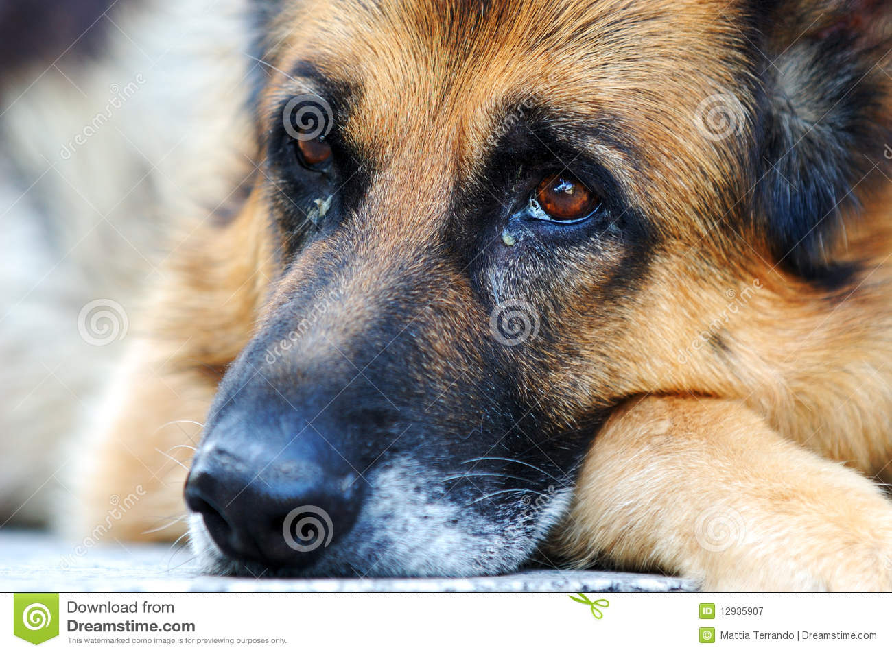 Sad German Shepherd Dog Stock Image Image Of Look Brown