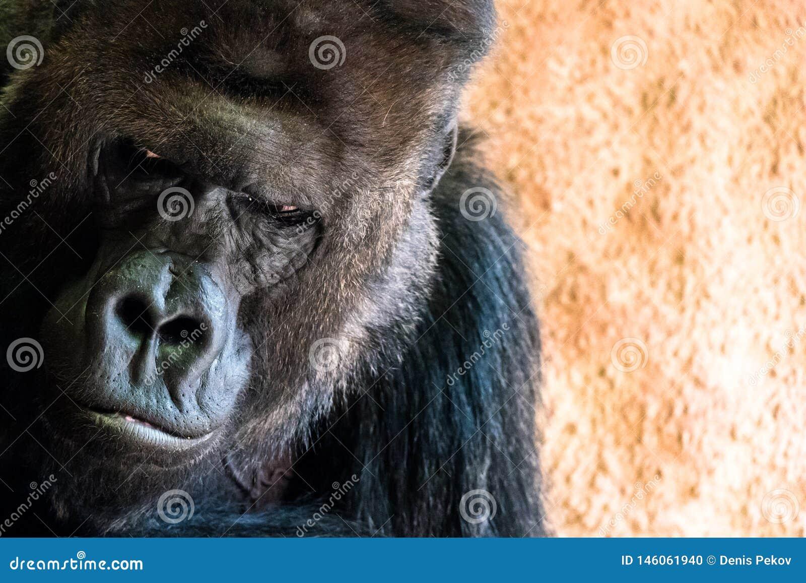 Sad gorilla at the